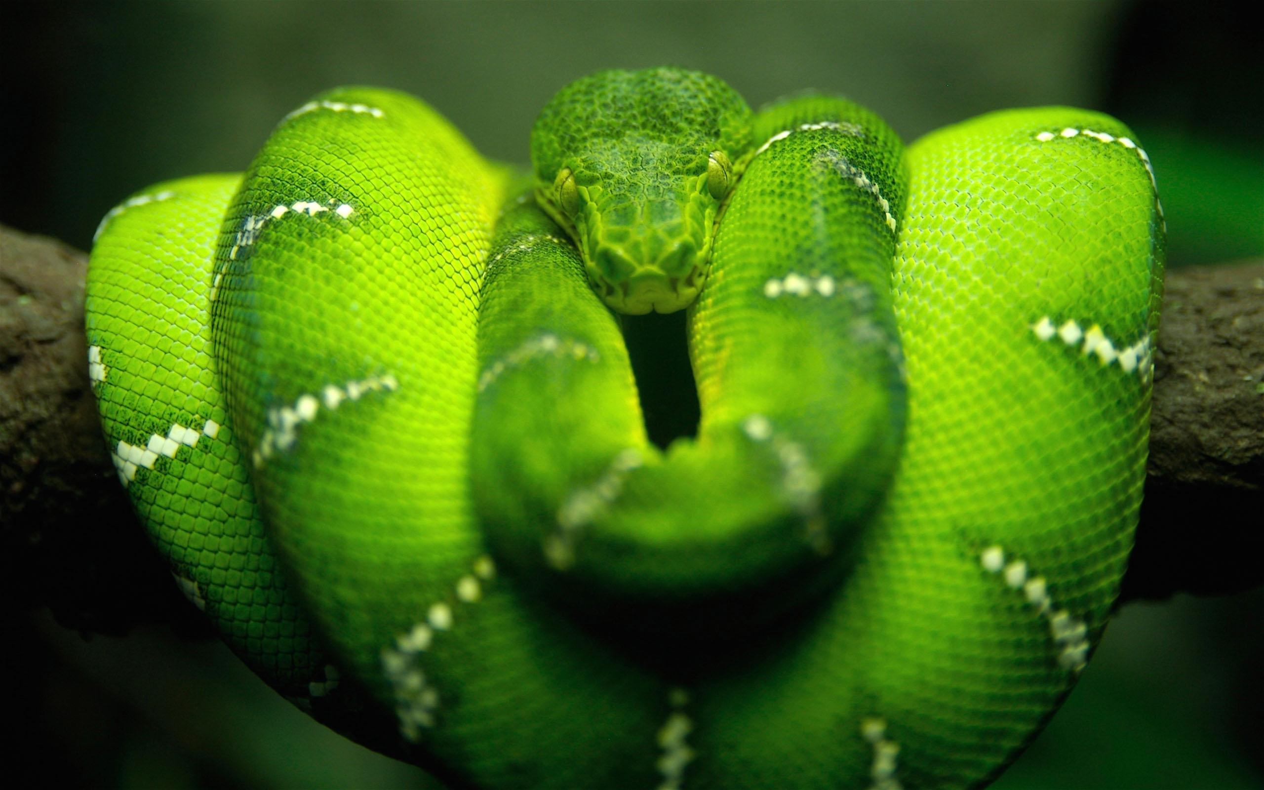 46589 скачать обои Животные, Змеи - заставки и картинки бесплатно