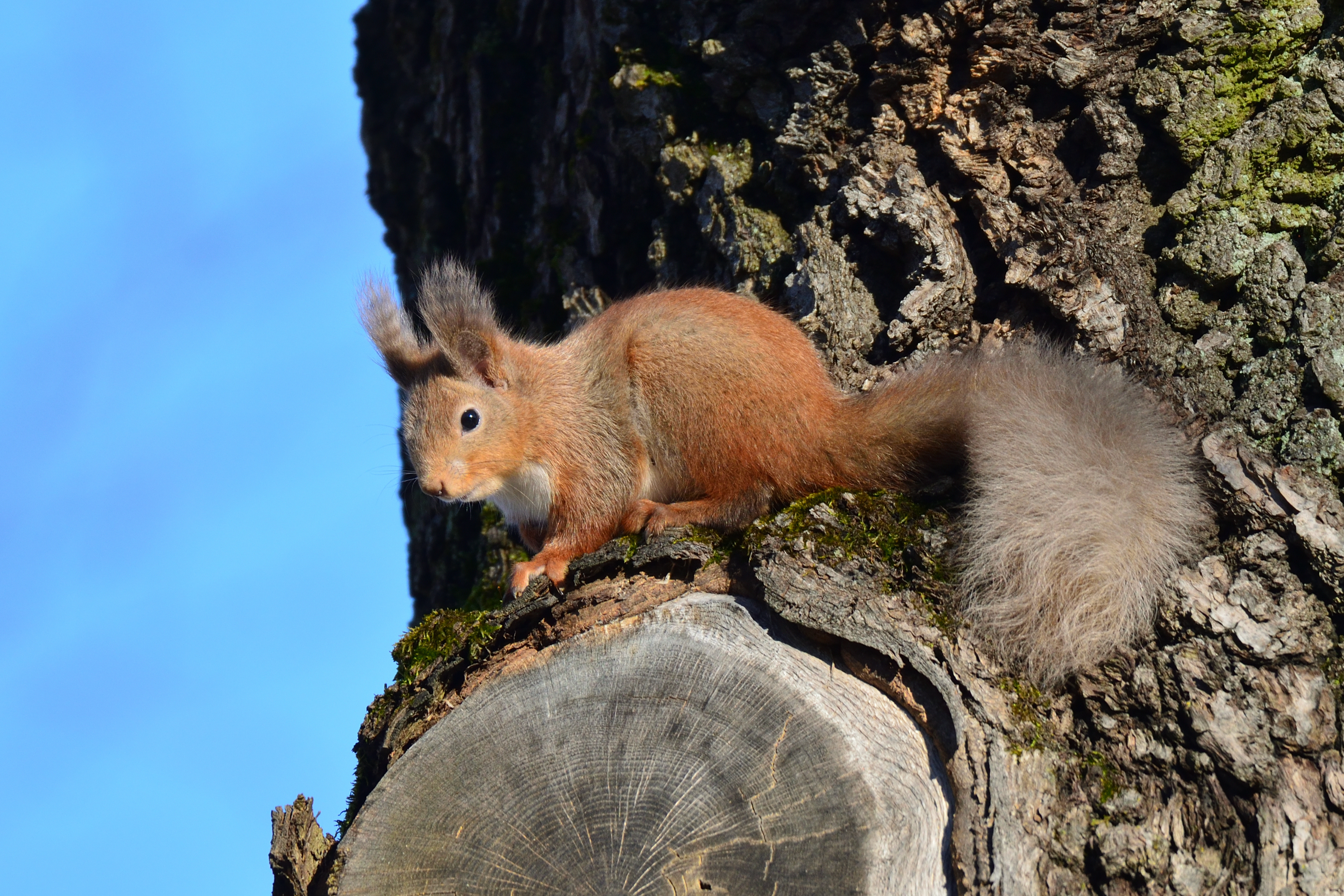 56256 download wallpaper Animals, Squirrel, Animal, Wood, Tree, Bark, Wildlife screensavers and pictures for free