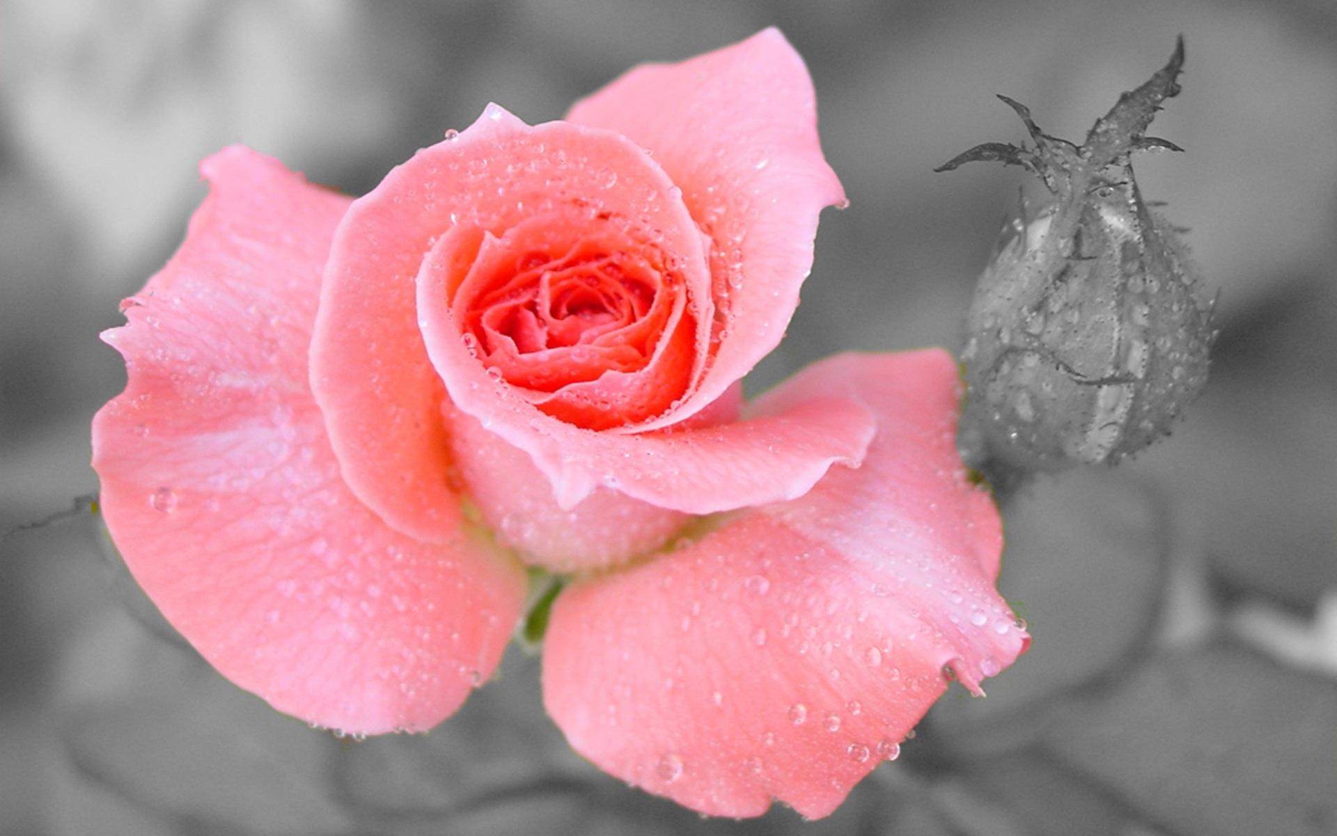 38118 скачать обои Растения, Цветы, Розы - заставки и картинки бесплатно