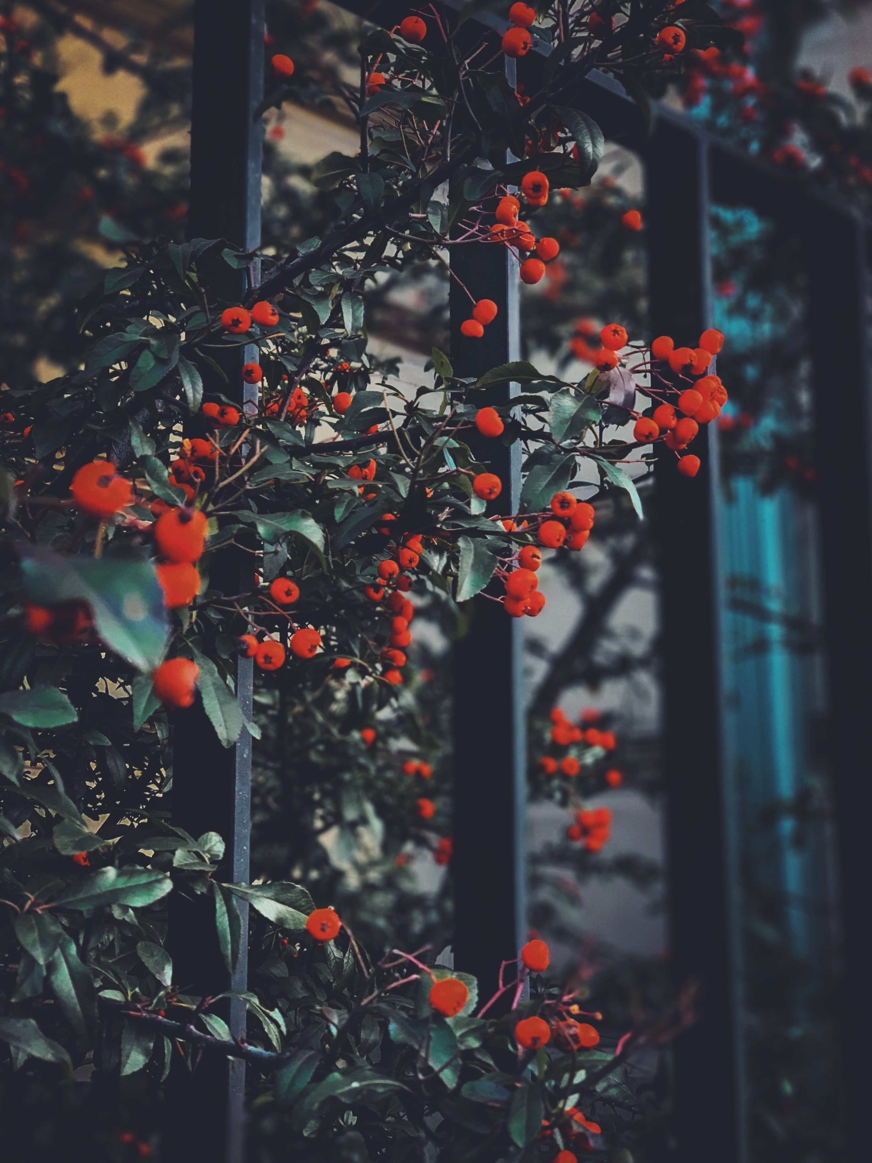 85310 download wallpaper Nature, Red Berries, Leaves, Branches, Berries screensavers and pictures for free