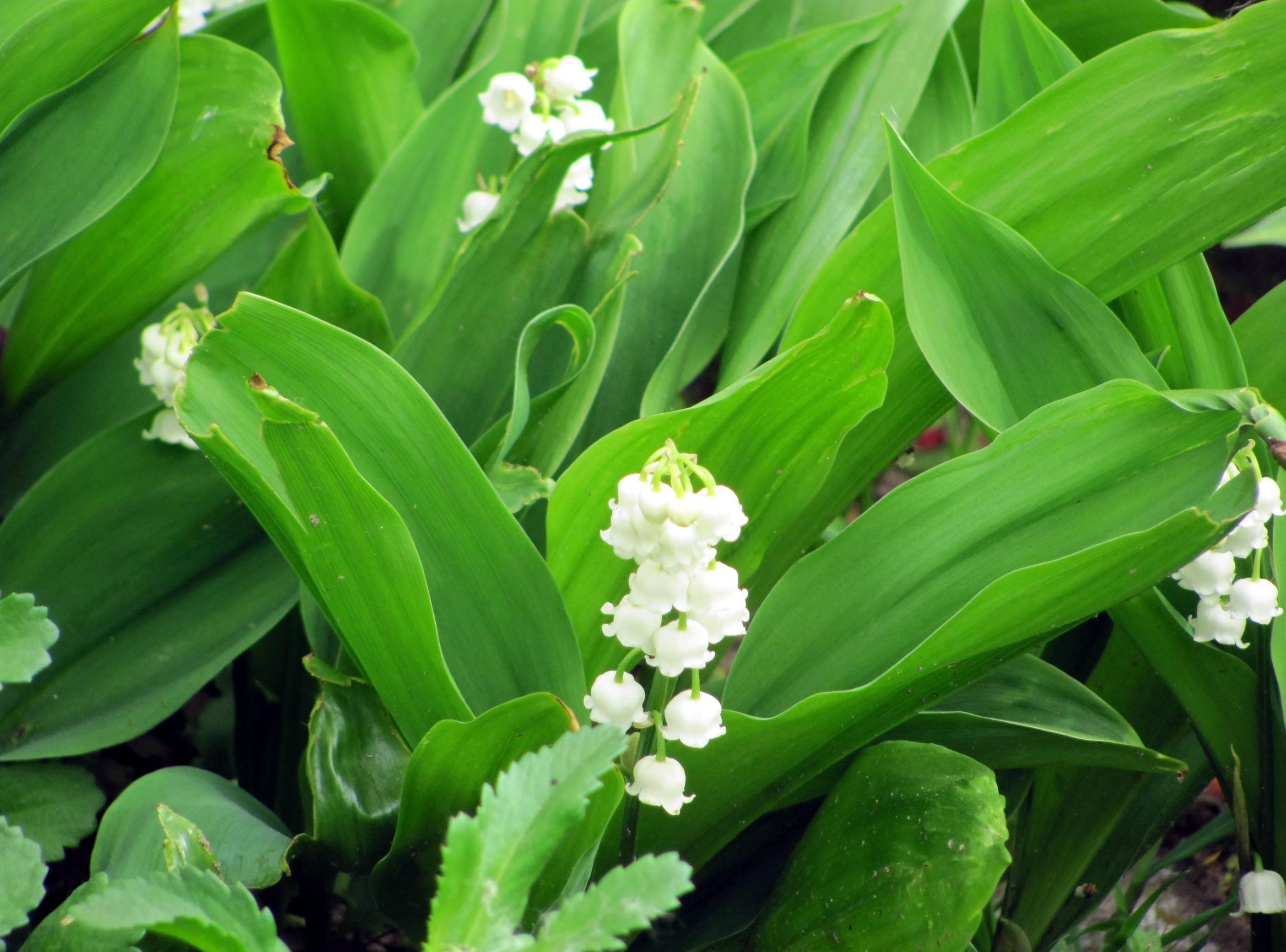 98882 免費下載壁紙 花卉, 青菜, 春天, 报春花, 第一花, 铃兰 屏保和圖片