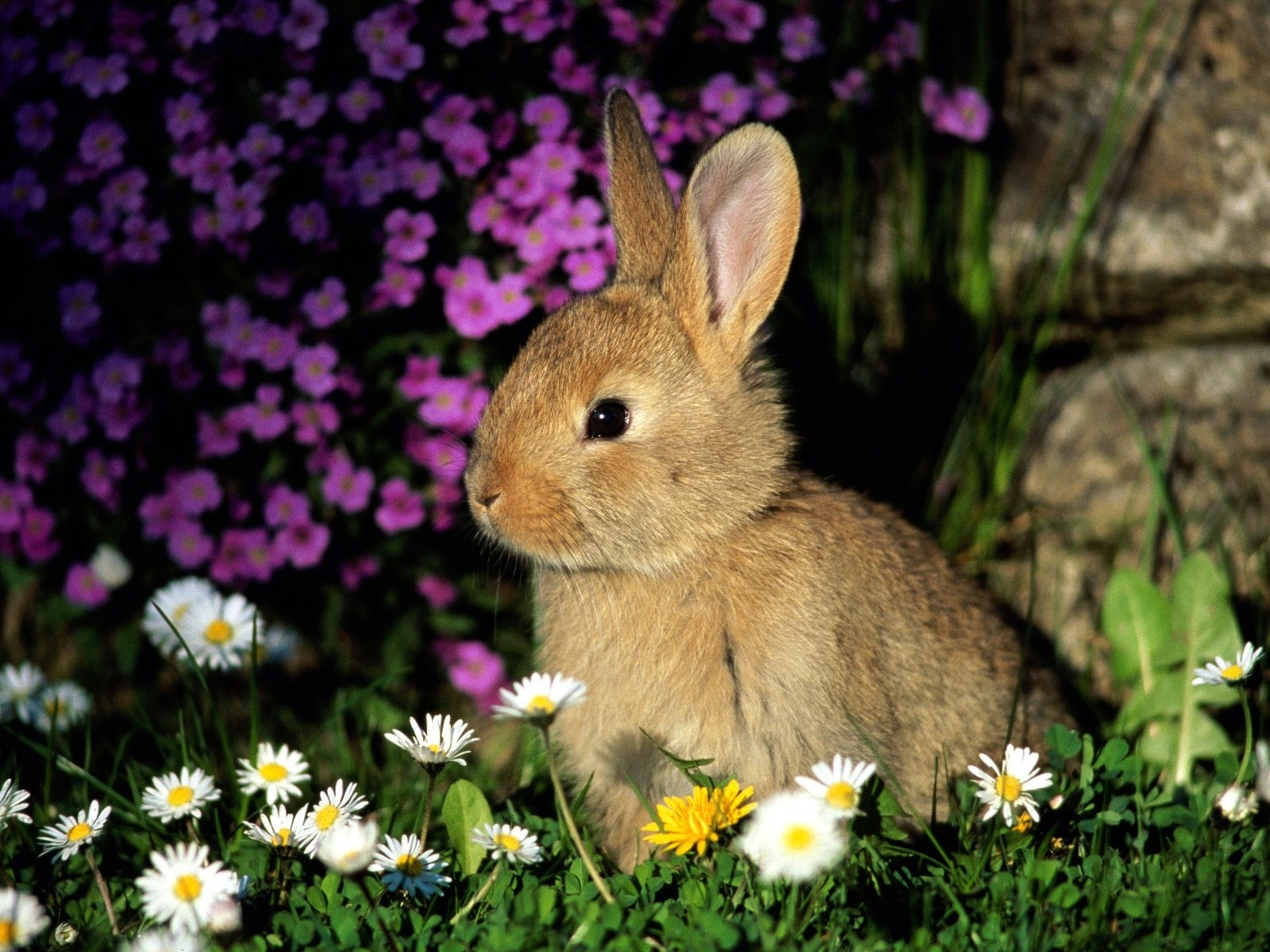 5893 download wallpaper Animals, Rabbits screensavers and pictures for free