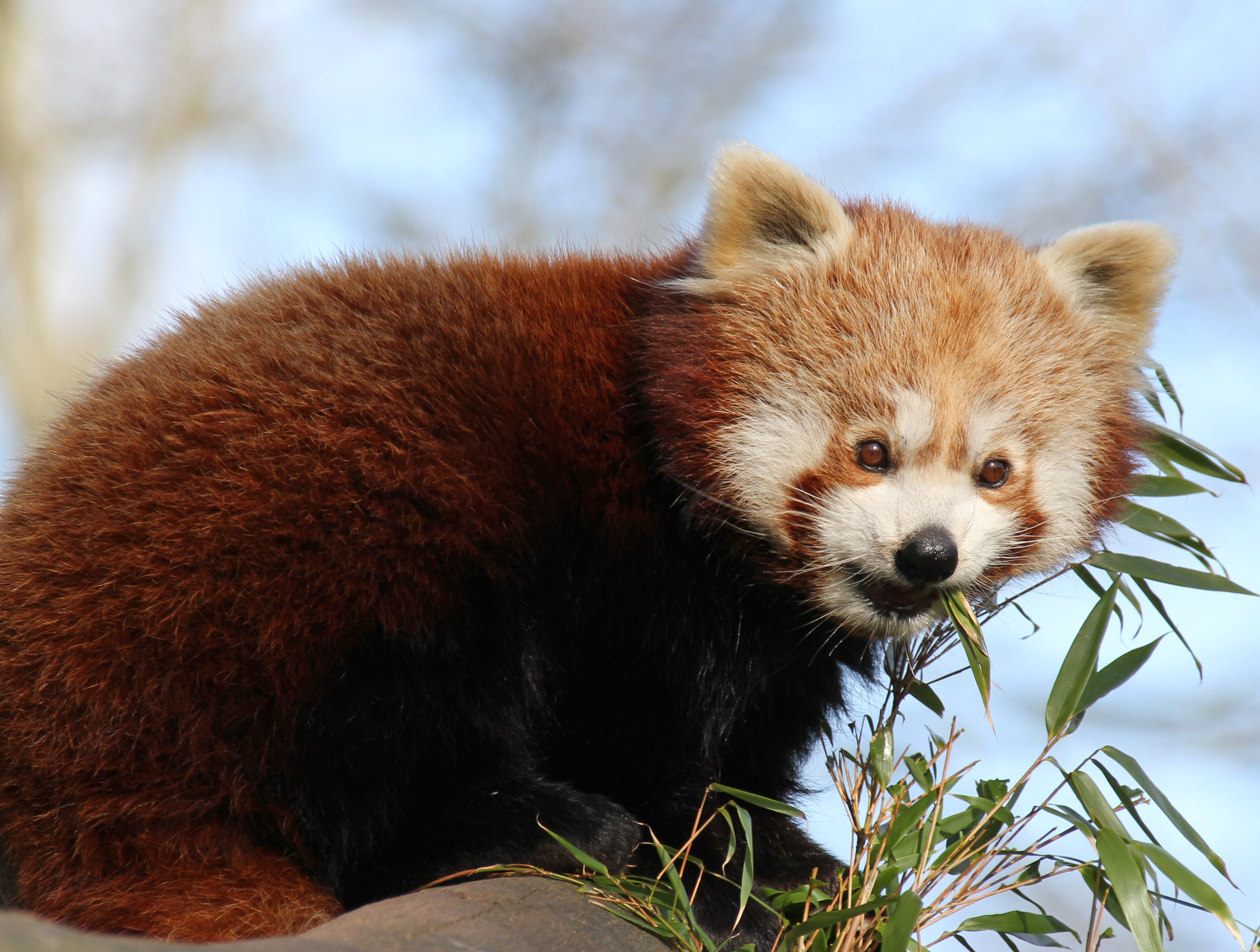 124764 download wallpaper Animals, Red Panda, Bamboo, Animal, Nice, Sweetheart screensavers and pictures for free