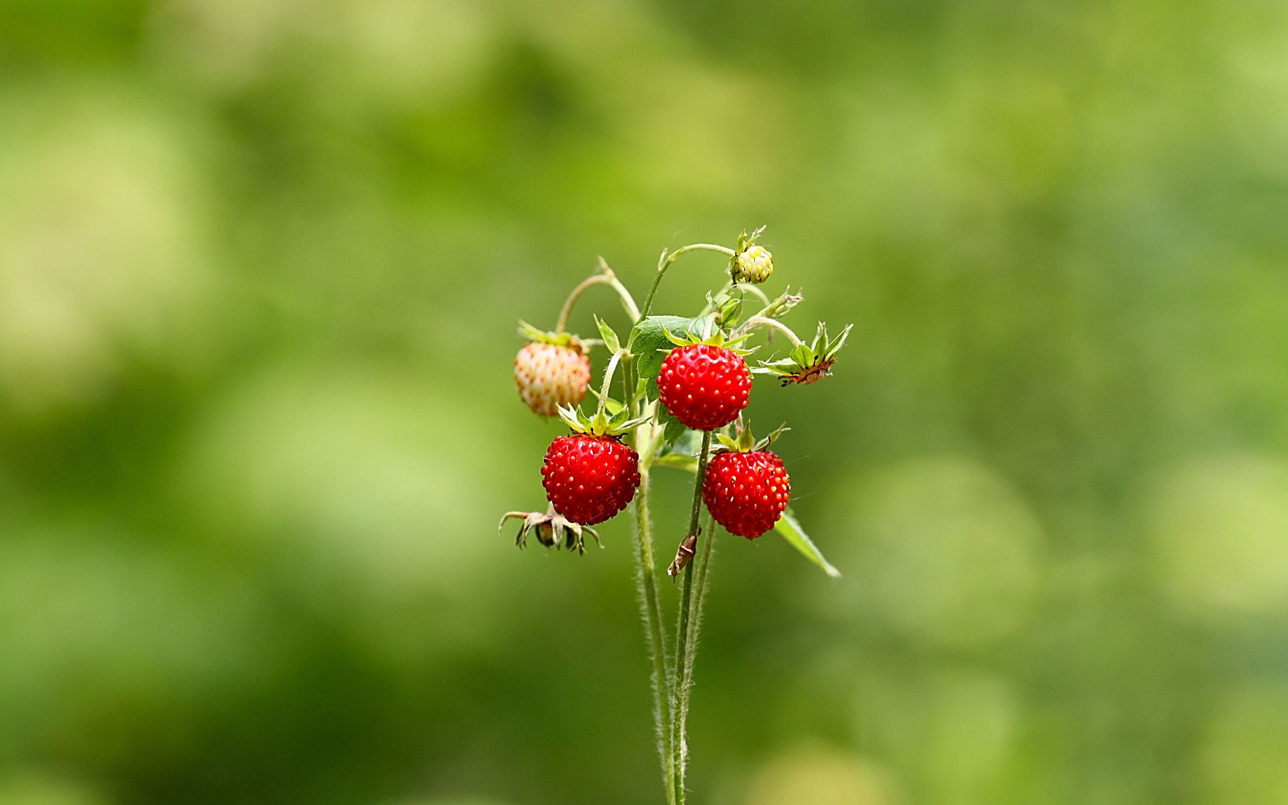 117992 download wallpaper Strawberry, Summer, Macro, Forest, Greens, Wild Strawberries screensavers and pictures for free