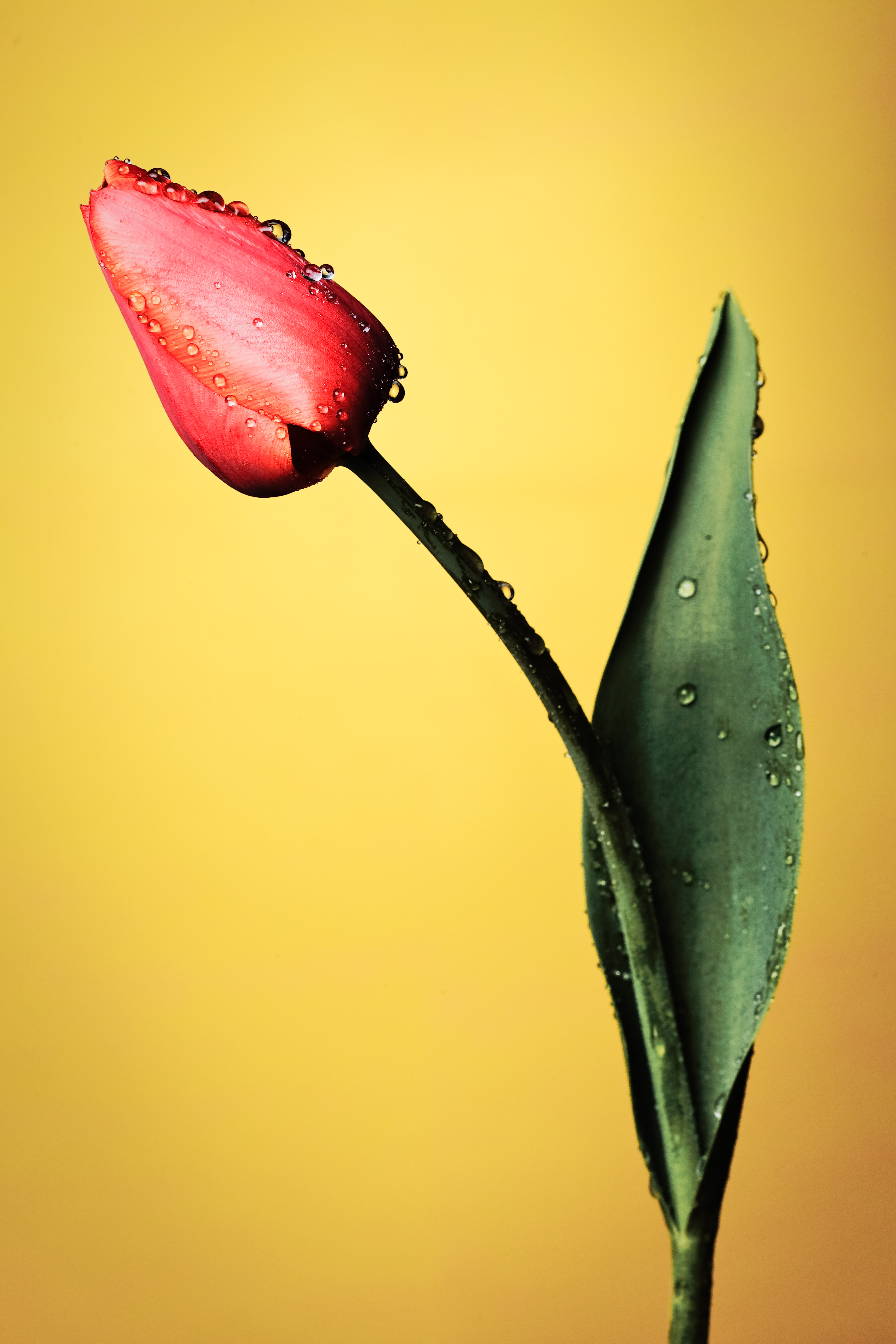 84350 Screensavers and Wallpapers Drops for phone. Download Drops, Flowers, Flower, Wet, Tulip pictures for free