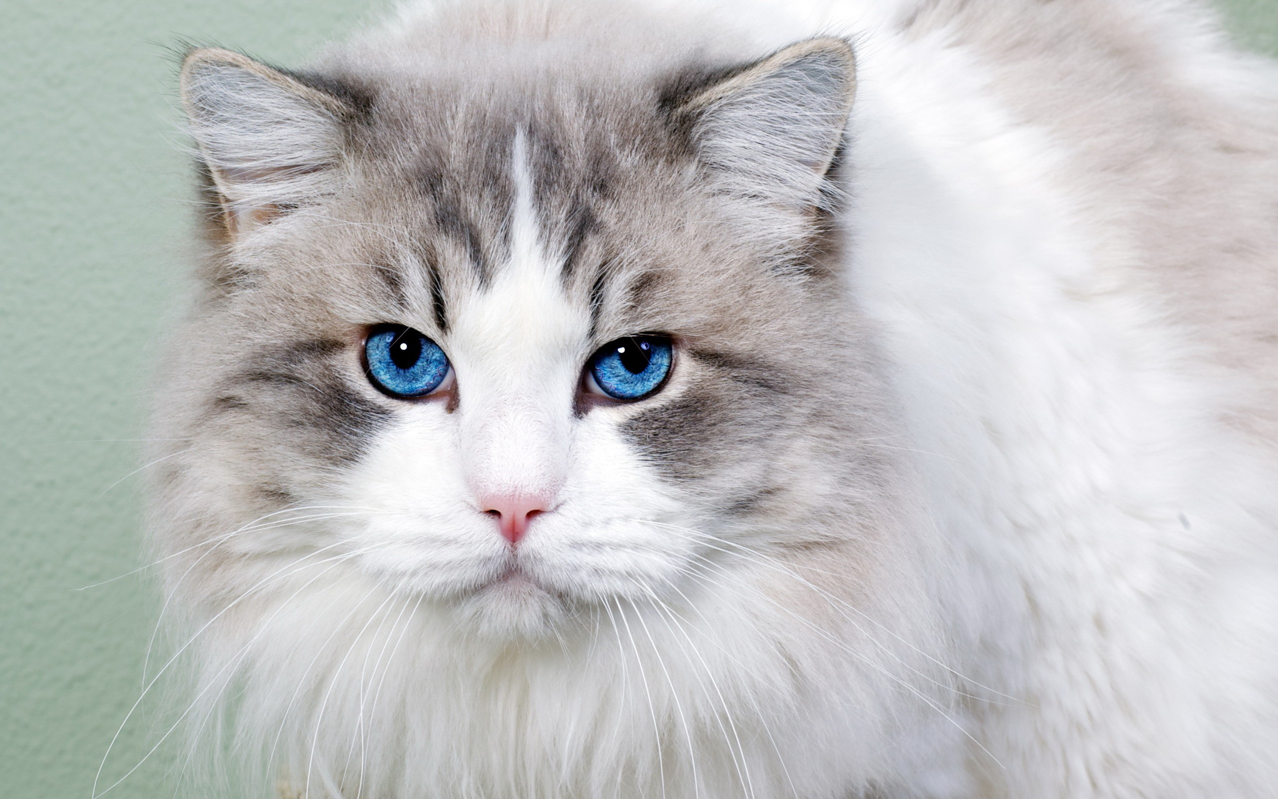 43717 скачать обои Животные, Кошки (Коты, Котики) - заставки и картинки бесплатно