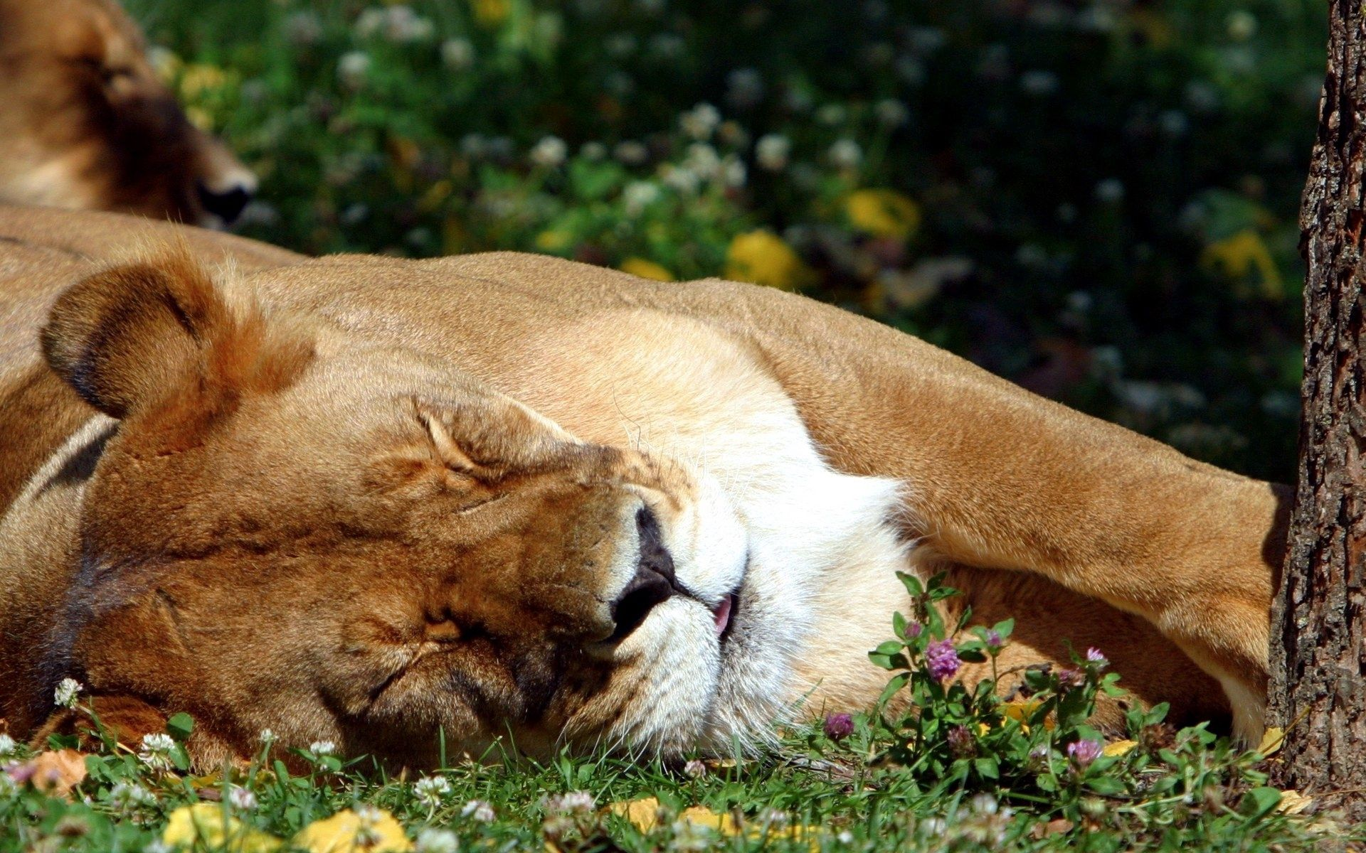 95782 download wallpaper Animals, Lion, Sleep, Dream, Grass, Big Cat, Predator screensavers and pictures for free