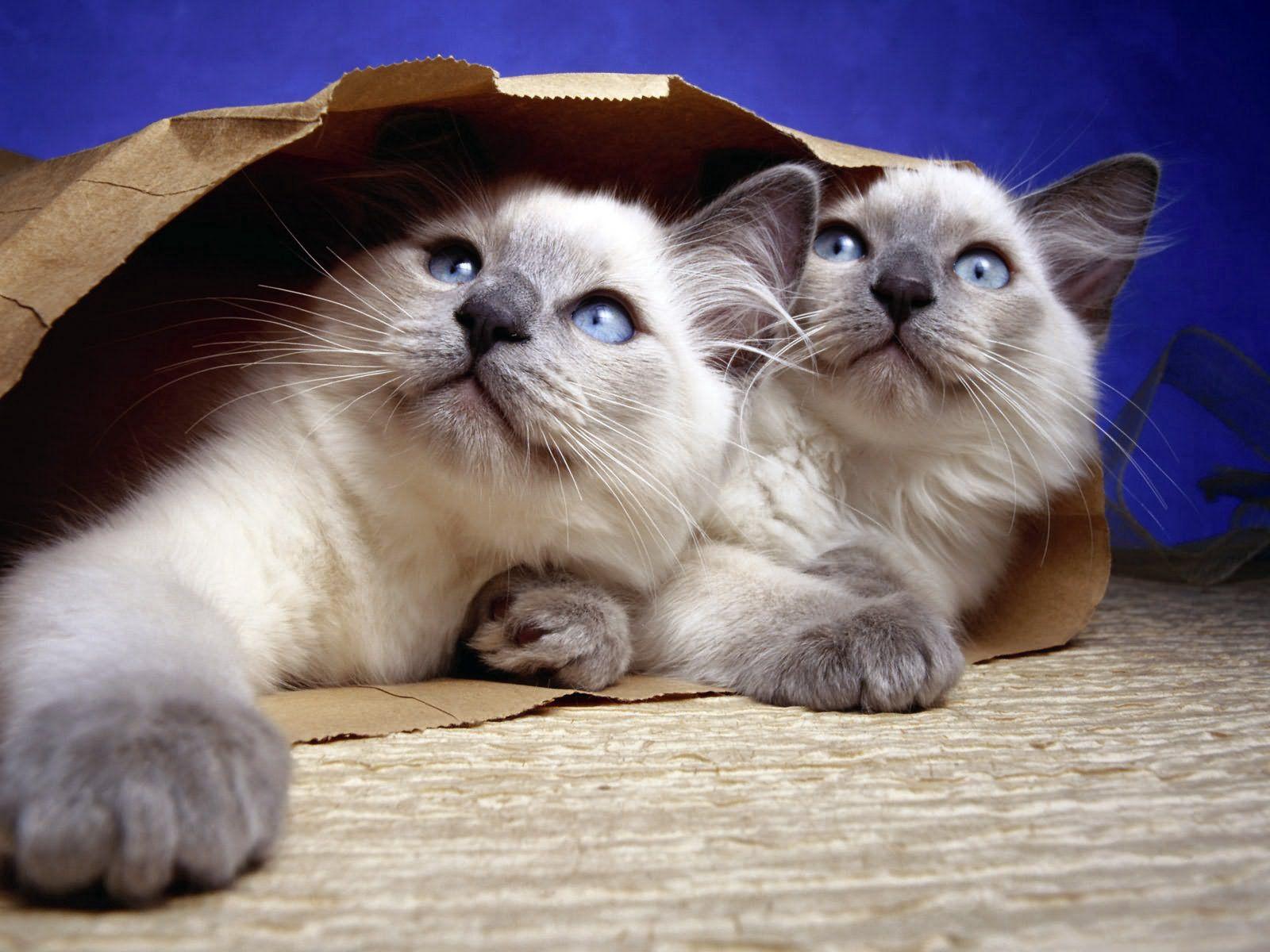54379 скачать обои Животные, Коты, Пара, Пакет, Бумага - заставки и картинки бесплатно