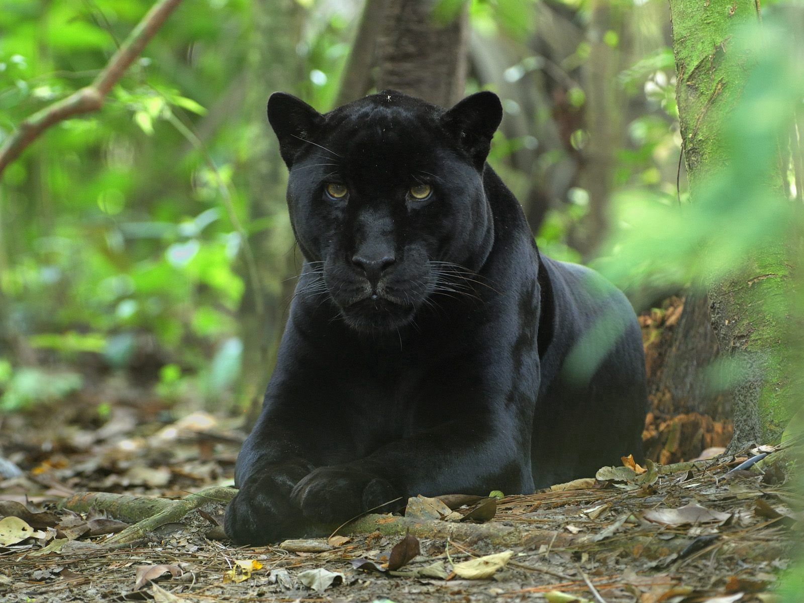 99745 download wallpaper Animals, Panther, Big Cat, Grass, Hunting, Hunt, Sit screensavers and pictures for free