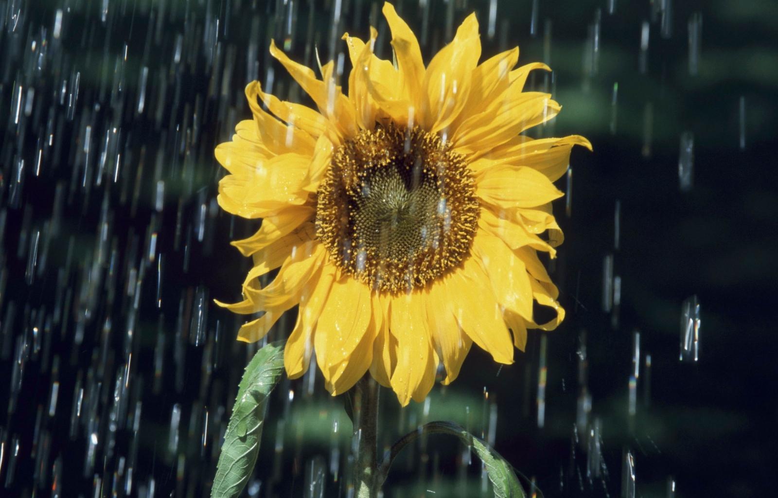35386 descargar fondo de pantalla Plantas, Flores, Girasoles: protectores de pantalla e imágenes gratis