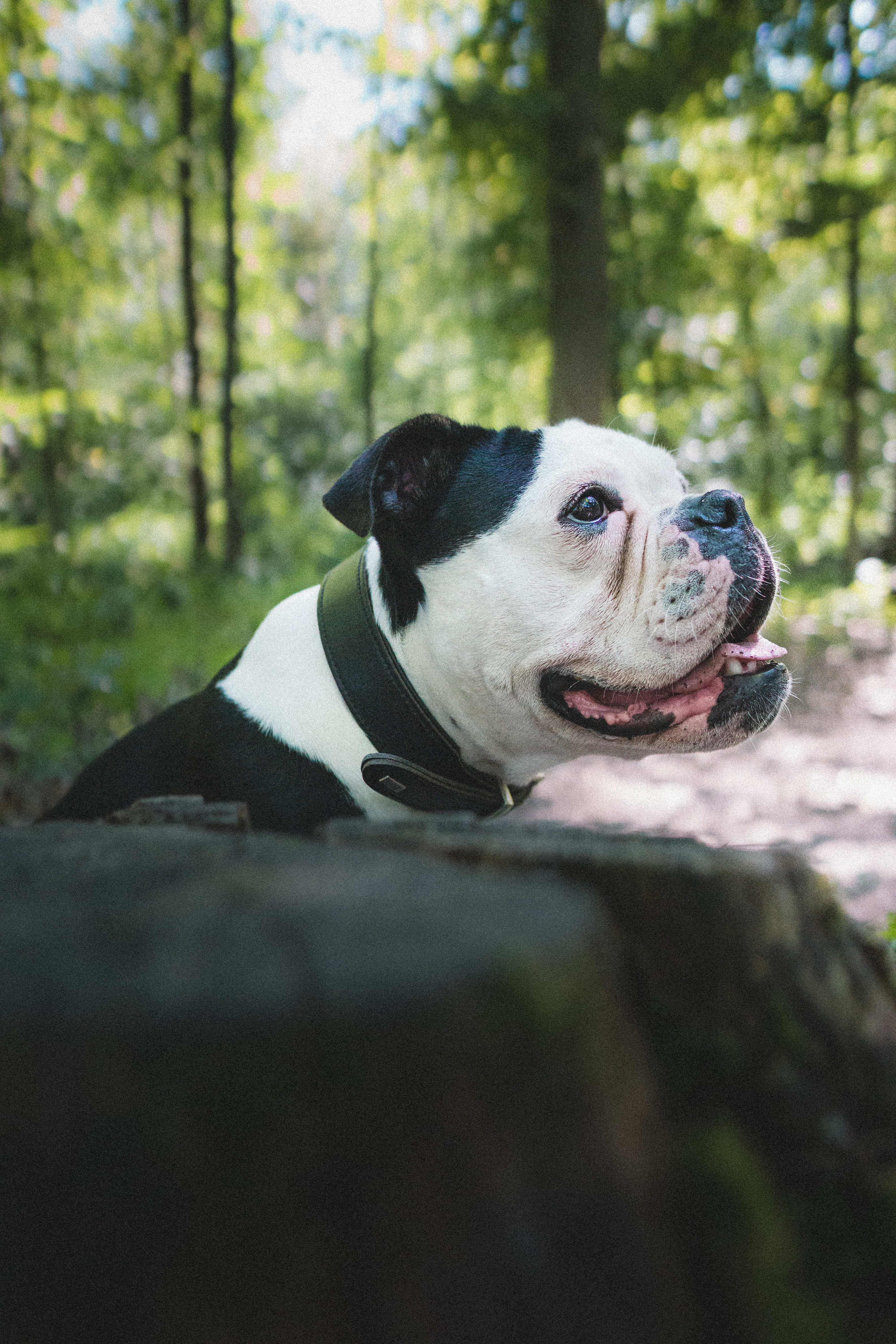 116891 download wallpaper Animals, Bulldog, Dog, Pet, Protruding Tongue, Tongue Stuck Out, Profile screensavers and pictures for free