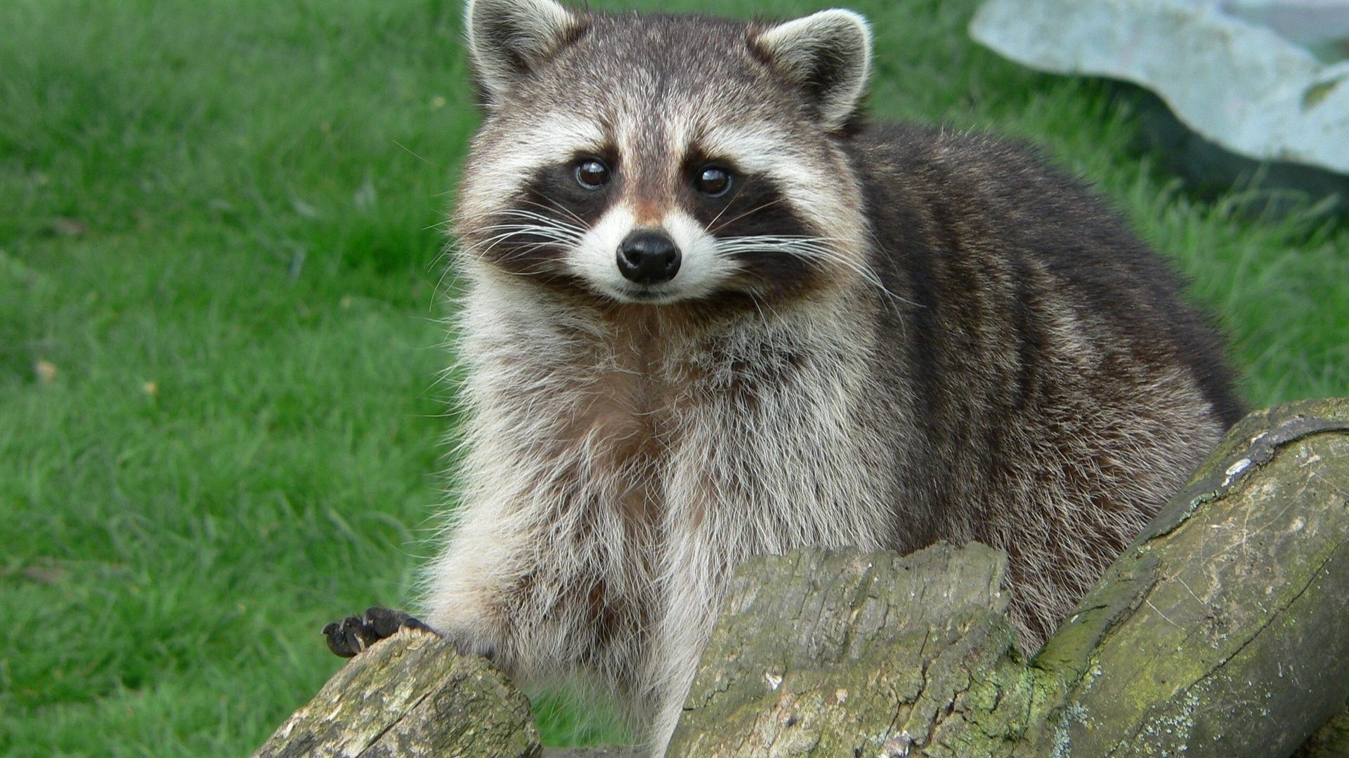 55566 Screensavers and Wallpapers Raccoon for phone. Download Animals, Grass, Sight, Opinion, Log, Raccoon pictures for free