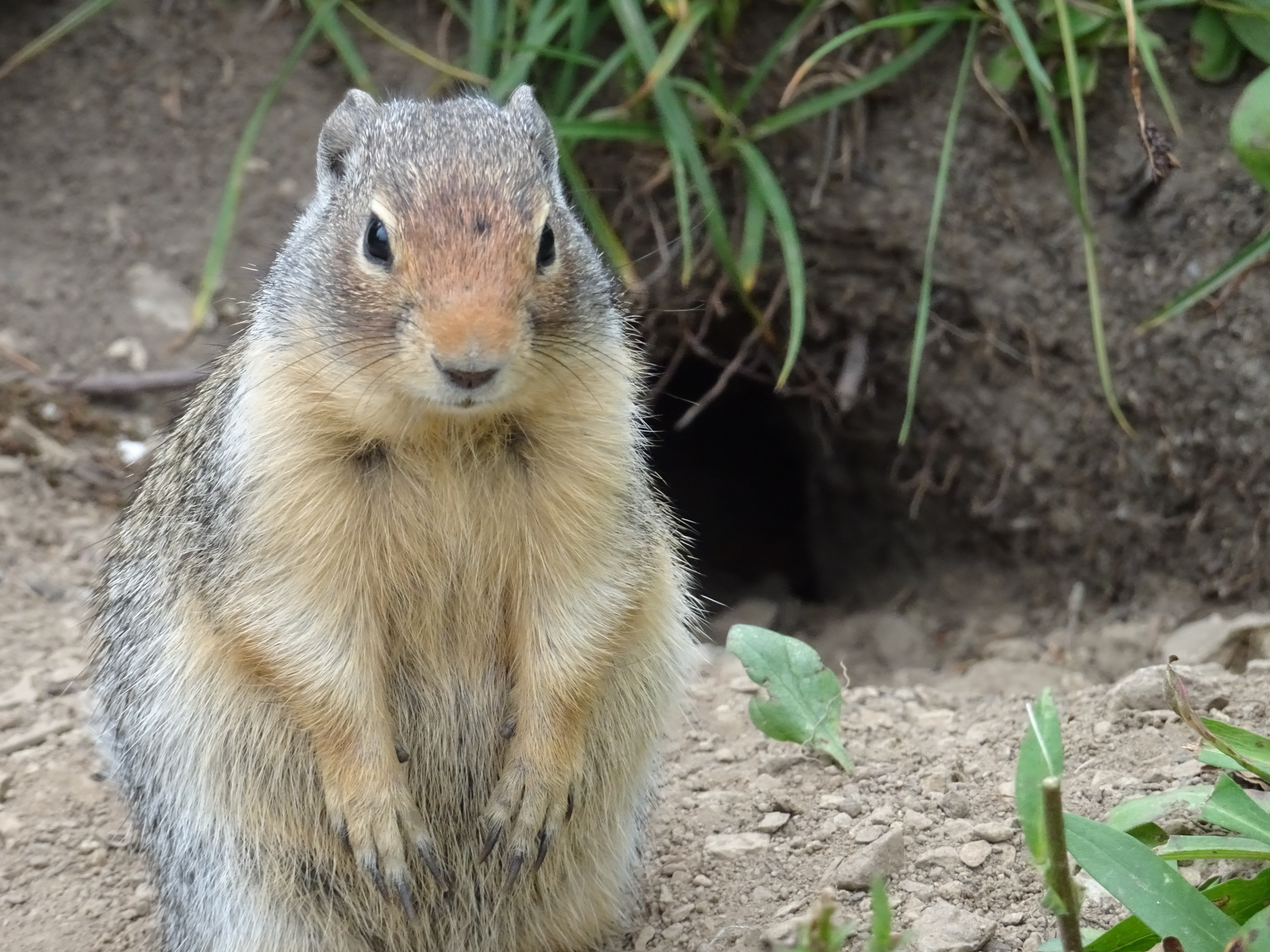 145510 download wallpaper Animals, Marmot, Animal, Is Sitting, Sits, Fat, Thick screensavers and pictures for free