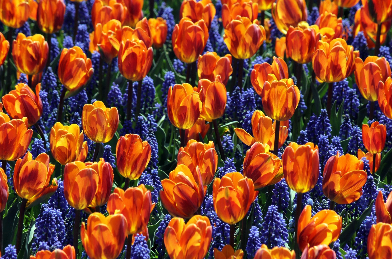 133925 скачать обои Цветы, Мускари, Клумба, Весна, Тюльпаны - заставки и картинки бесплатно