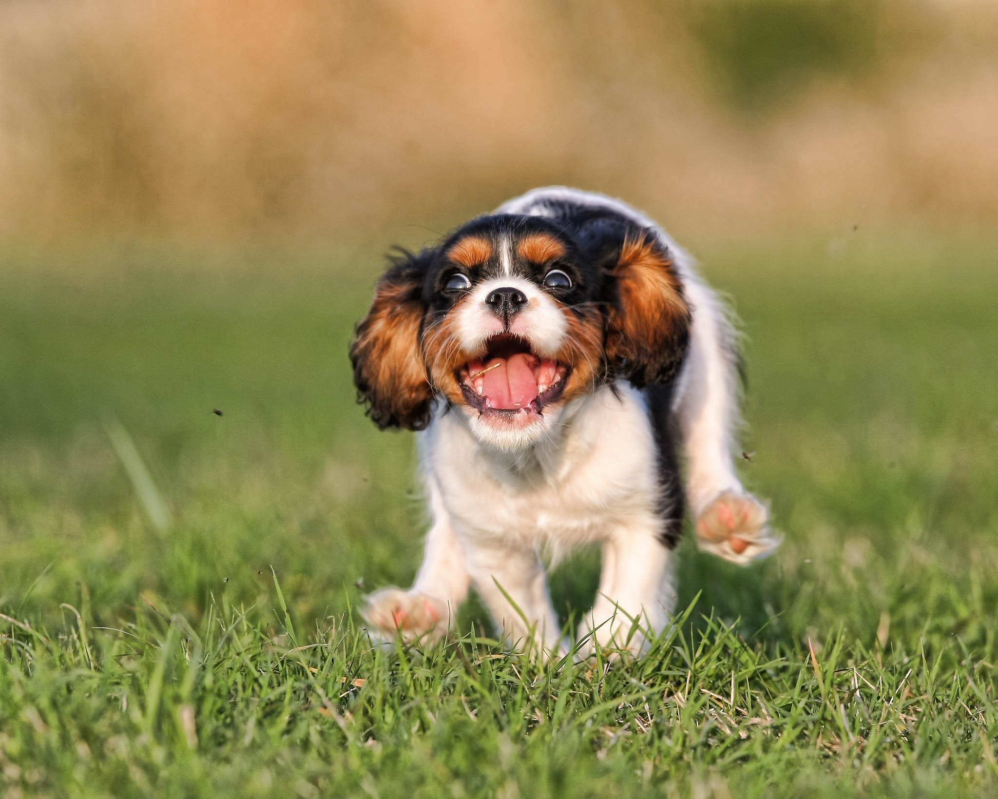 155710 download wallpaper Animals, Puppy, Grass, Run, Running, Bounce, Jump screensavers and pictures for free