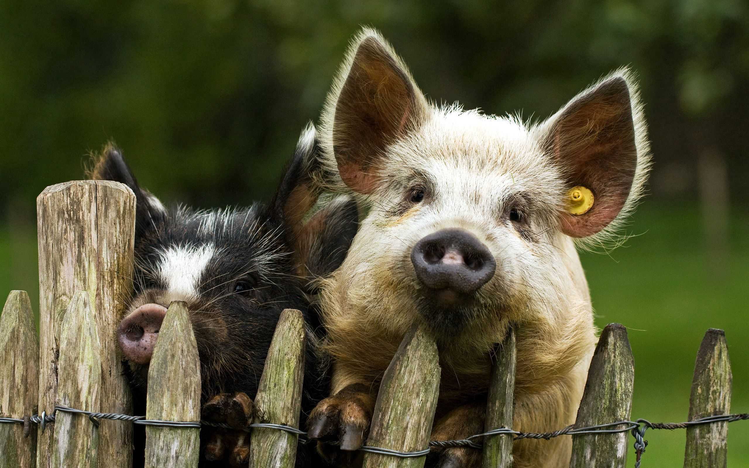 90720 download wallpaper Animals, Pigs, Couple, Pair, Fence screensavers and pictures for free