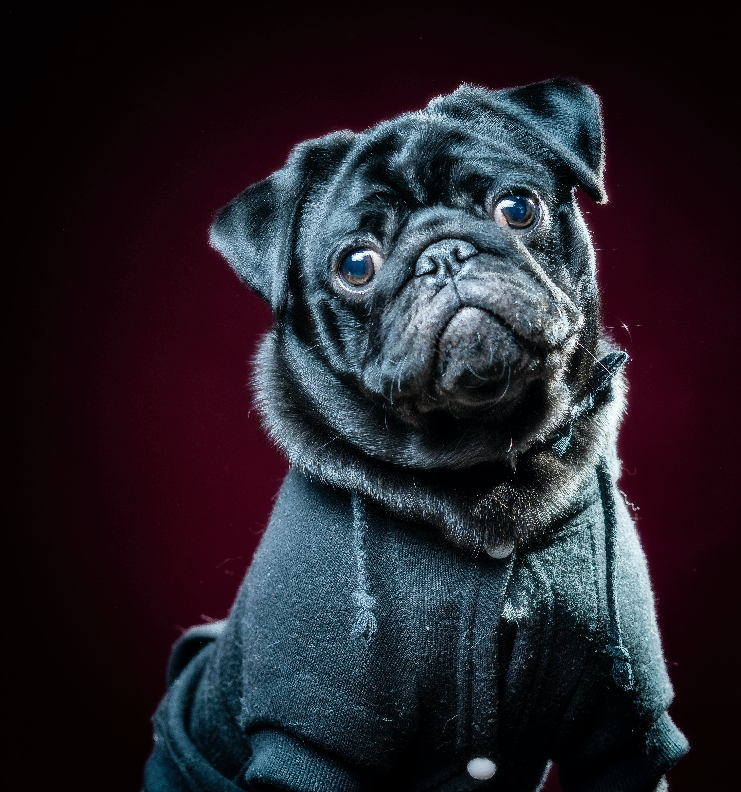 95014 download wallpaper Animals, Pug, Dog, Pet, Sight, Opinion screensavers and pictures for free