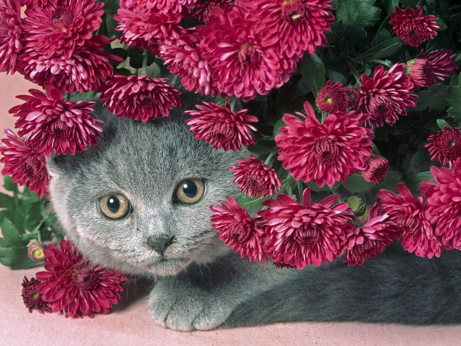 95518 download wallpaper Flowers, Cat, Animals, Muzzle, Sight, Opinion screensavers and pictures for free