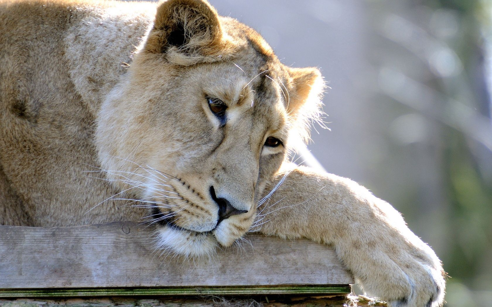 135161 download wallpaper Animals, Lion, Lioness, Sleep, Dream, Sadness, Sorrow, To Lie Down, Lie, Paw, Predator screensavers and pictures for free