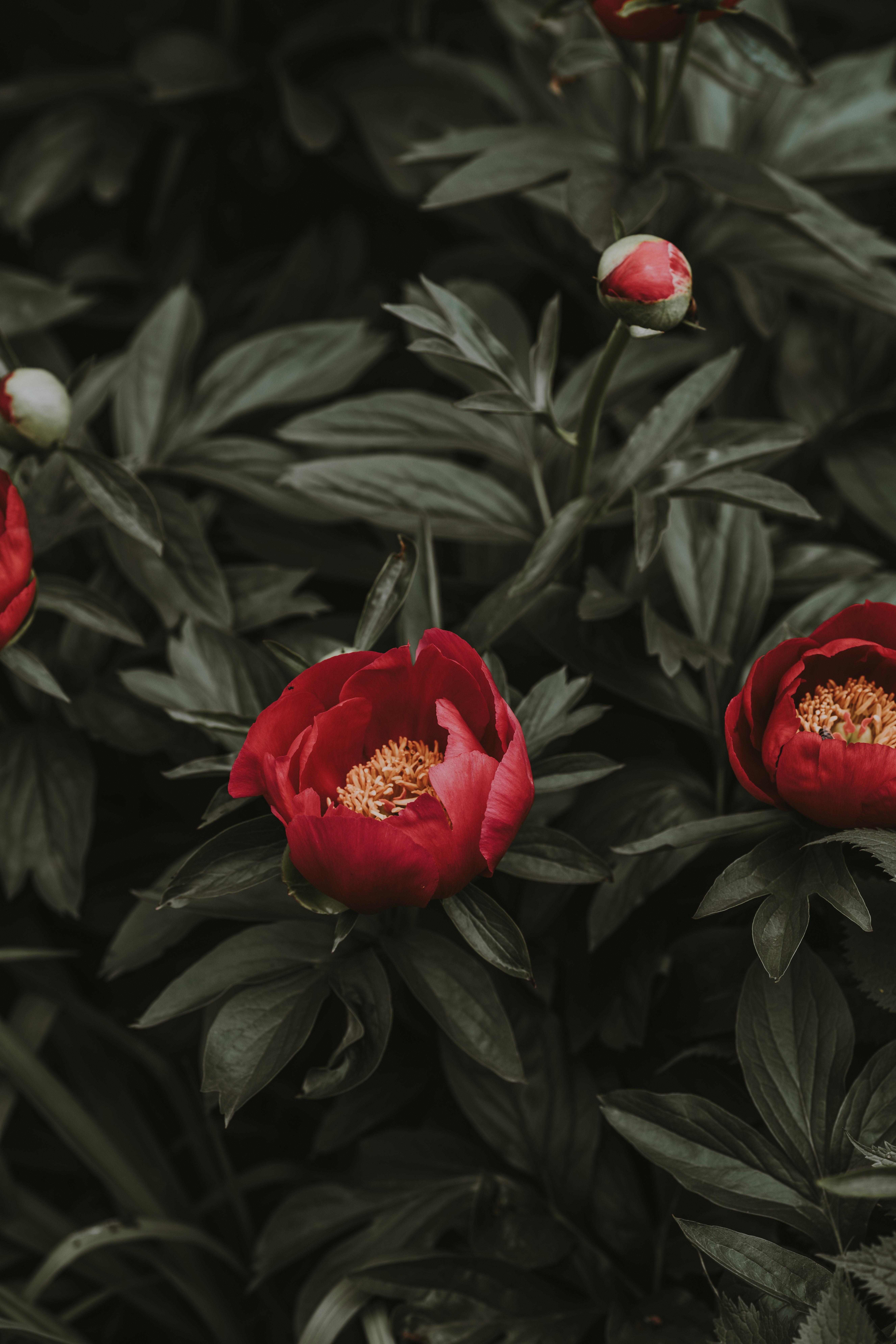 80790 скачать обои Пионы, Цветы, Листья, Красный, Клумба - заставки и картинки бесплатно