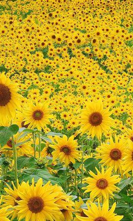 19141 скачать обои Растения, Цветы, Поля, Подсолнухи - заставки и картинки бесплатно