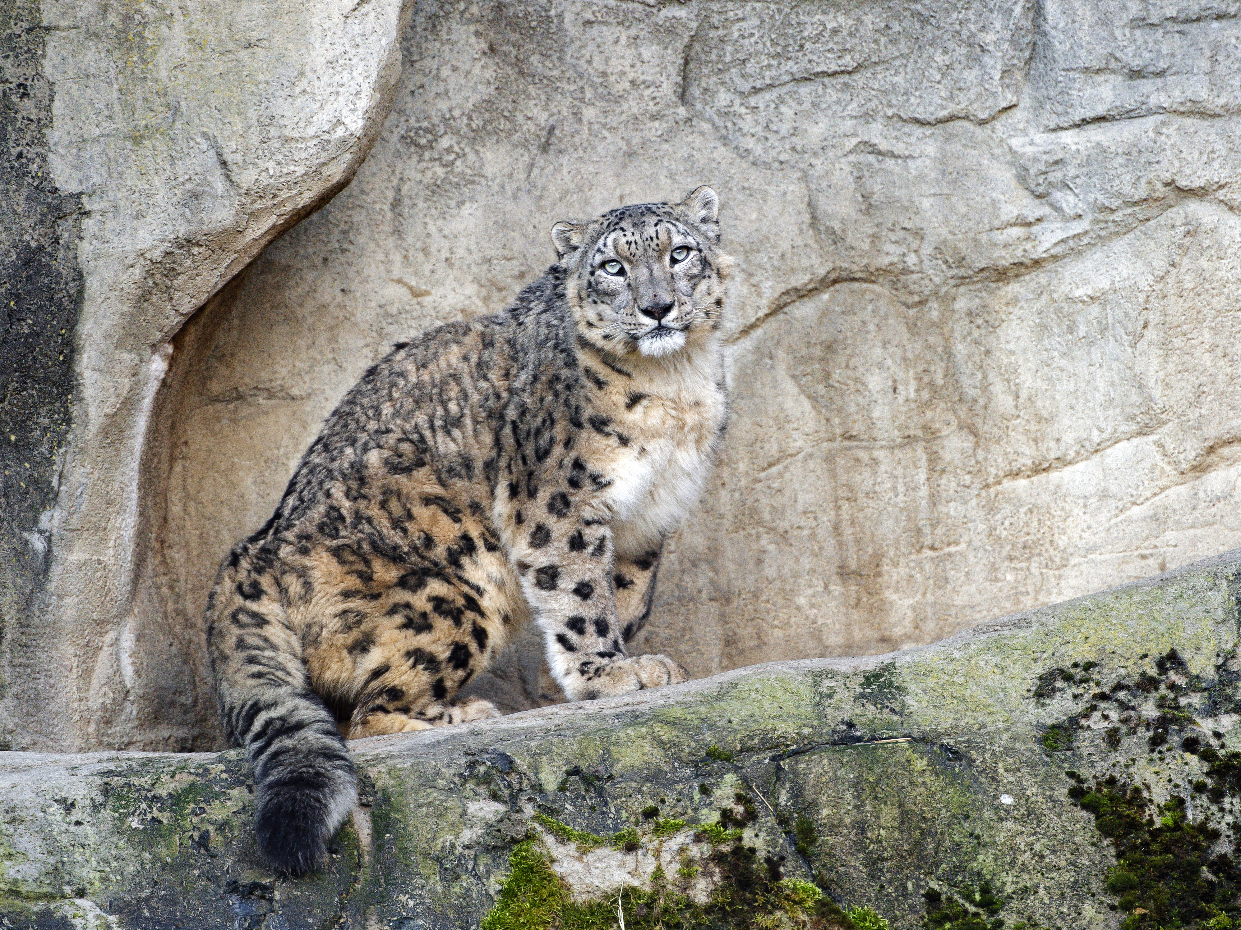 62297 download wallpaper Animals, Predator, Big Cat, Stains, Spots, Rocks, Snow Leopard screensavers and pictures for free