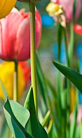 7654 скачать обои Растения, Цветы, Фон, Тюльпаны - заставки и картинки бесплатно
