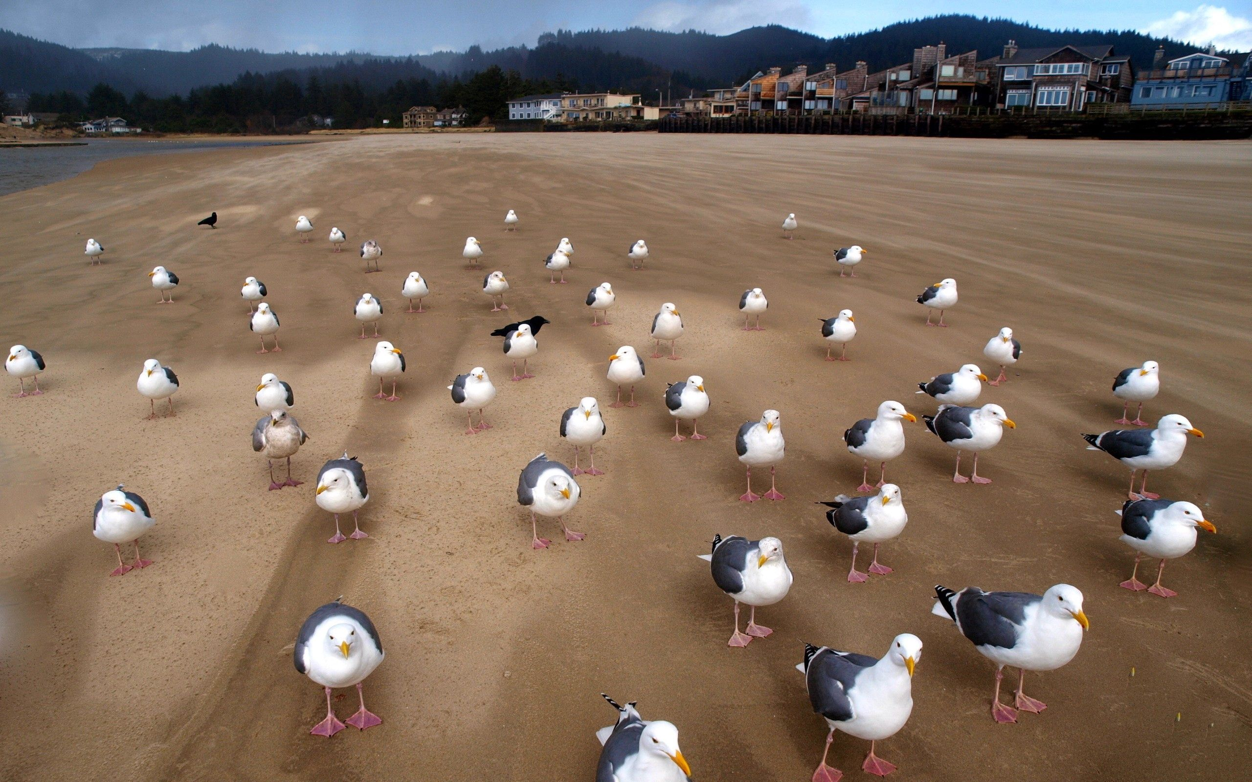 145167 download wallpaper Animals, Flock, Sand, Birds, Seagulls screensavers and pictures for free