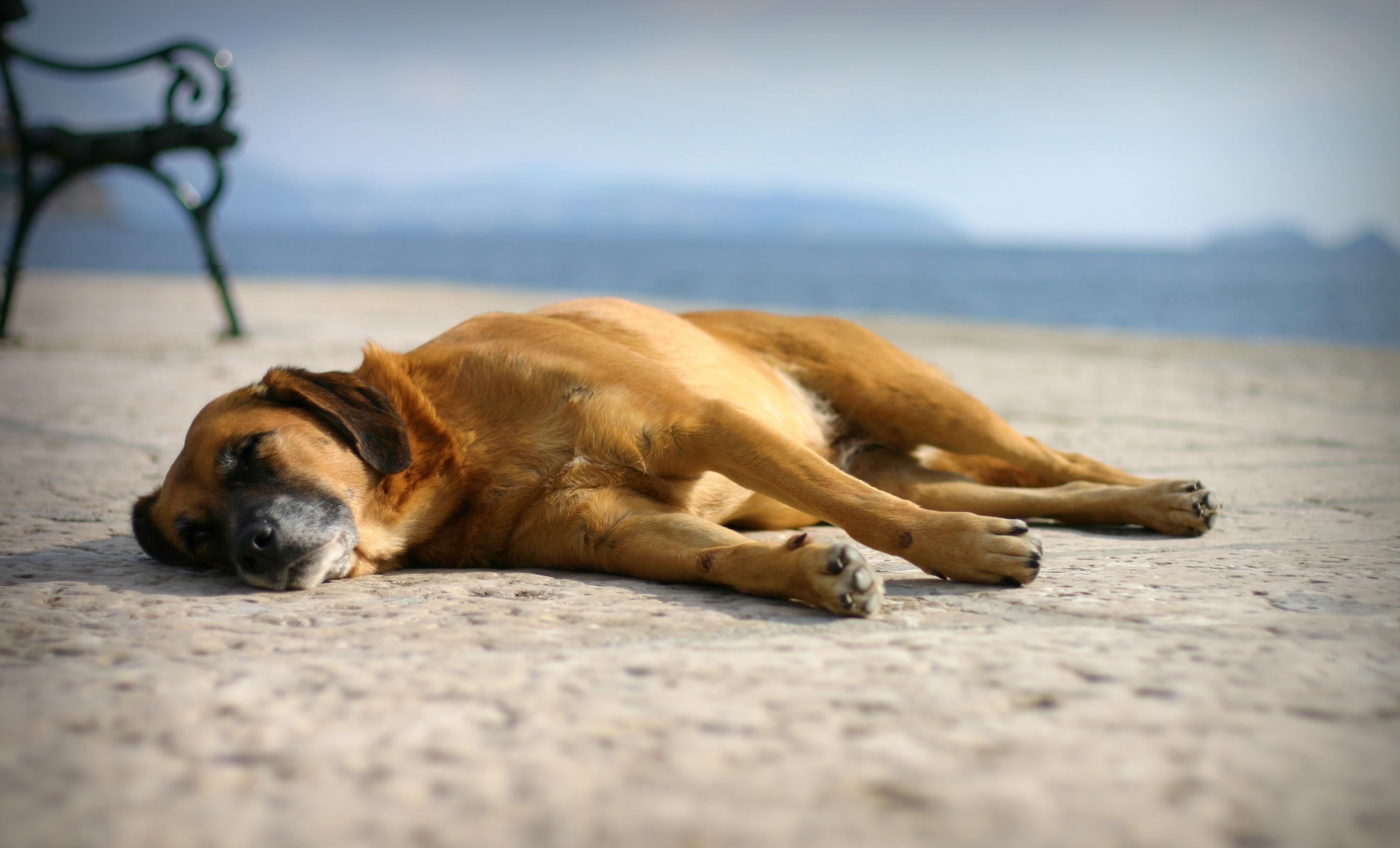 129927 download wallpaper Animals, Dog, Sleep, Dream, Sand, To Lie Down, Lie screensavers and pictures for free