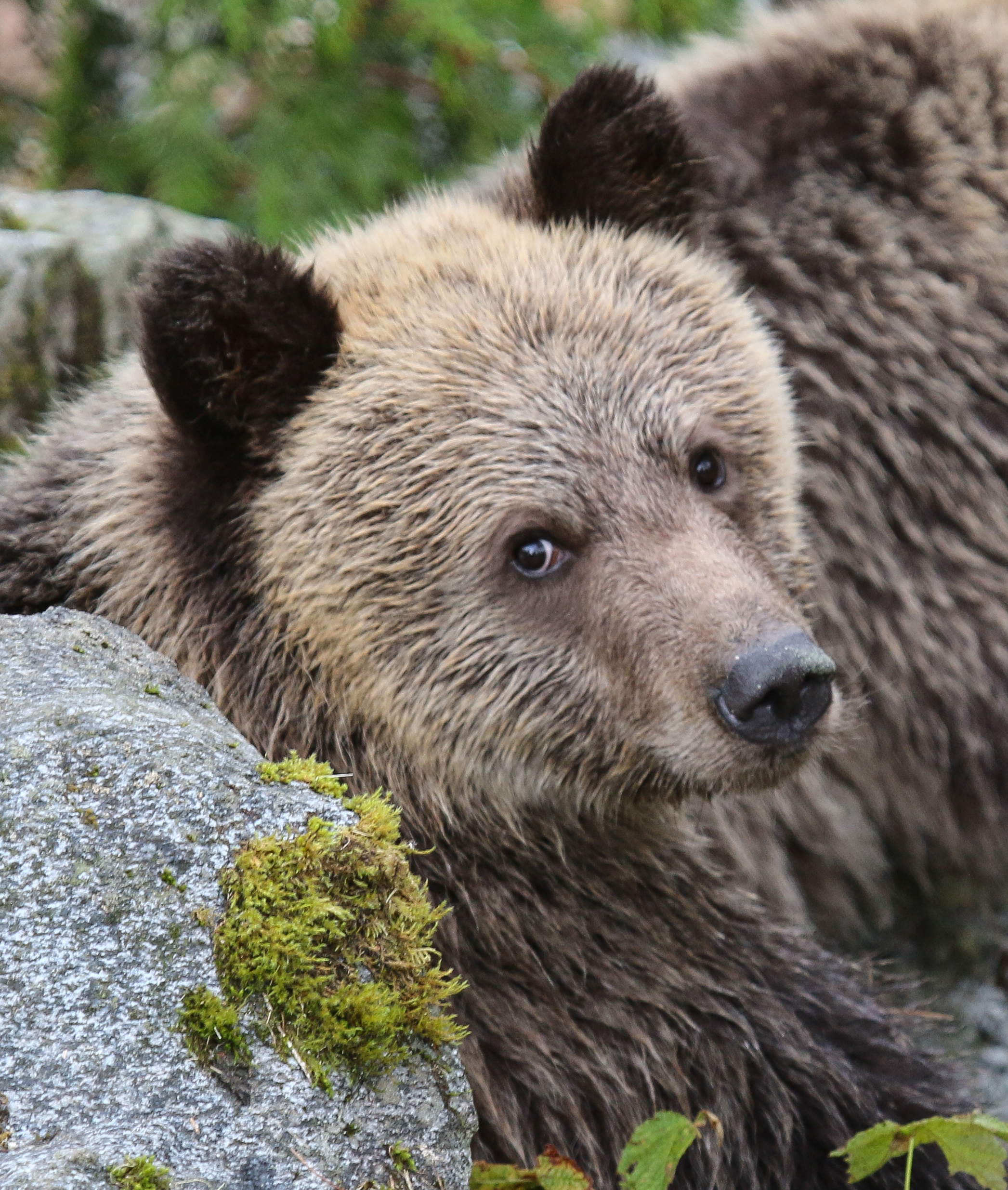 135368 download wallpaper Animals, Bear, Muzzle, Nice, Sweetheart, Brown screensavers and pictures for free