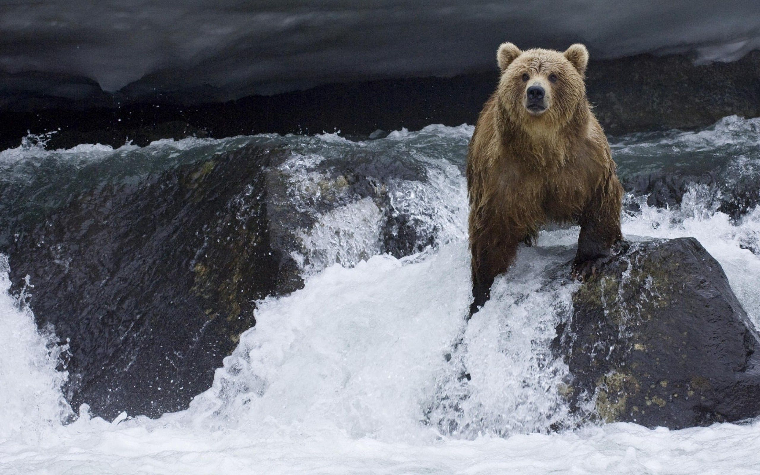 123392 Screensavers and Wallpapers Bear for phone. Download Animals, Water, Stones, Bear, Flow pictures for free