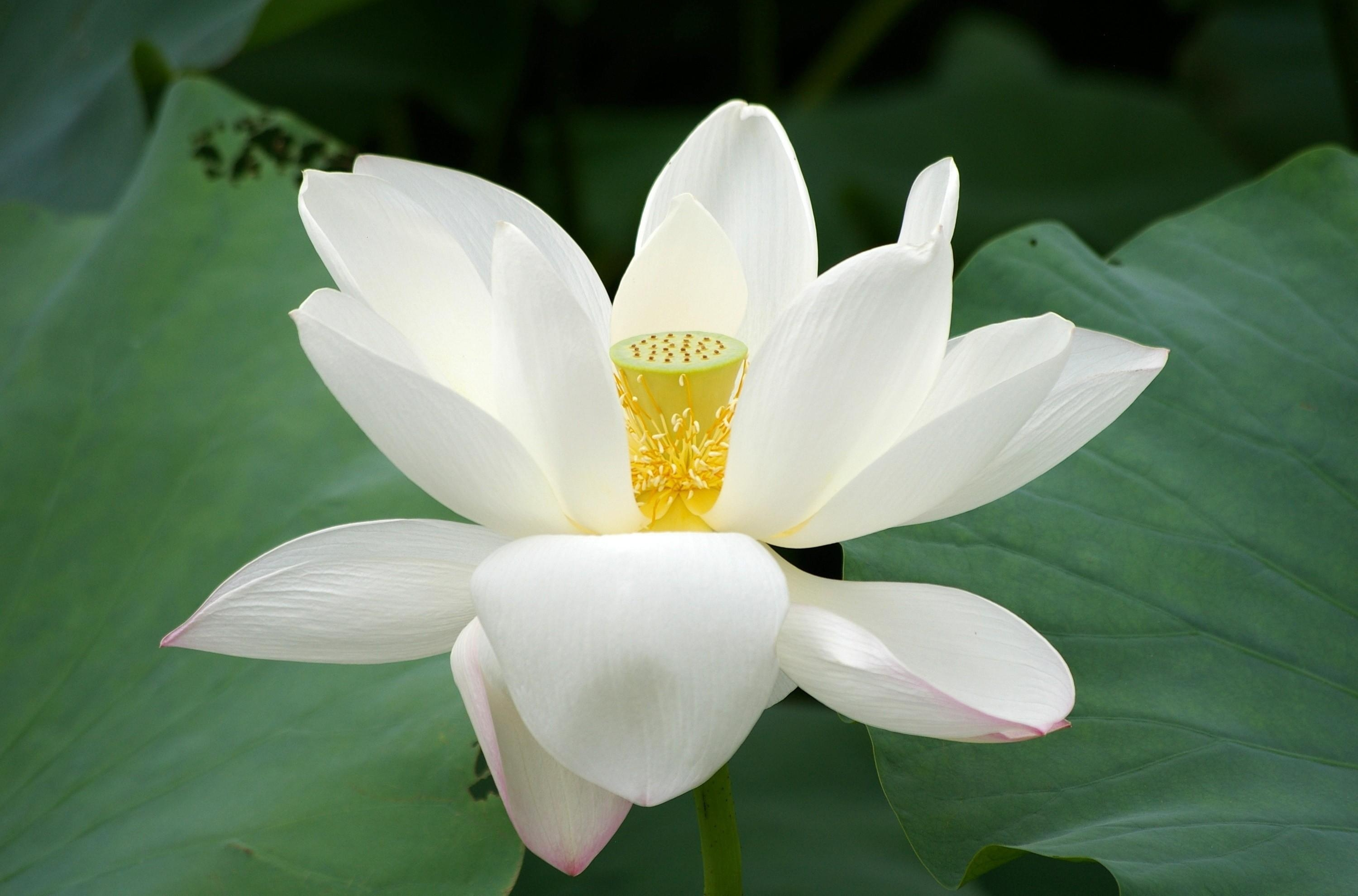 73991 download wallpaper Flowers, Lotus, Flower, Close-Up, Greens, Leaves screensavers and pictures for free