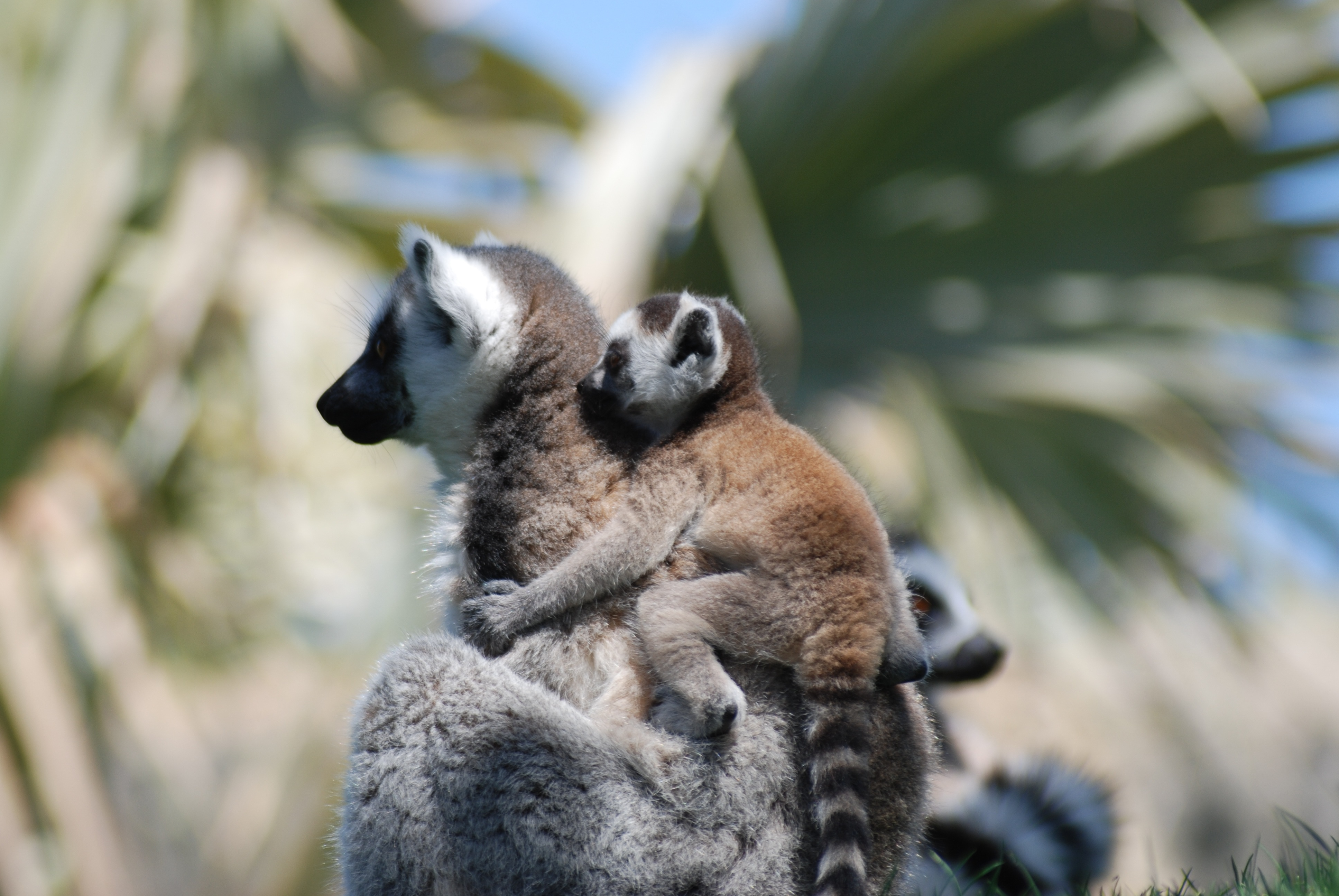 151812 download wallpaper Animals, Lemur, Young, Joey, Couple, Pair, Care screensavers and pictures for free