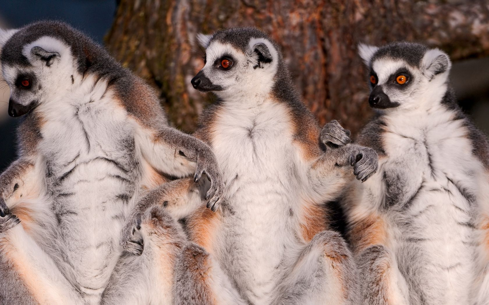116926 Screensavers and Wallpapers Lemurs for phone. Download Animals, Lemurs, Animal, Family, Wool pictures for free