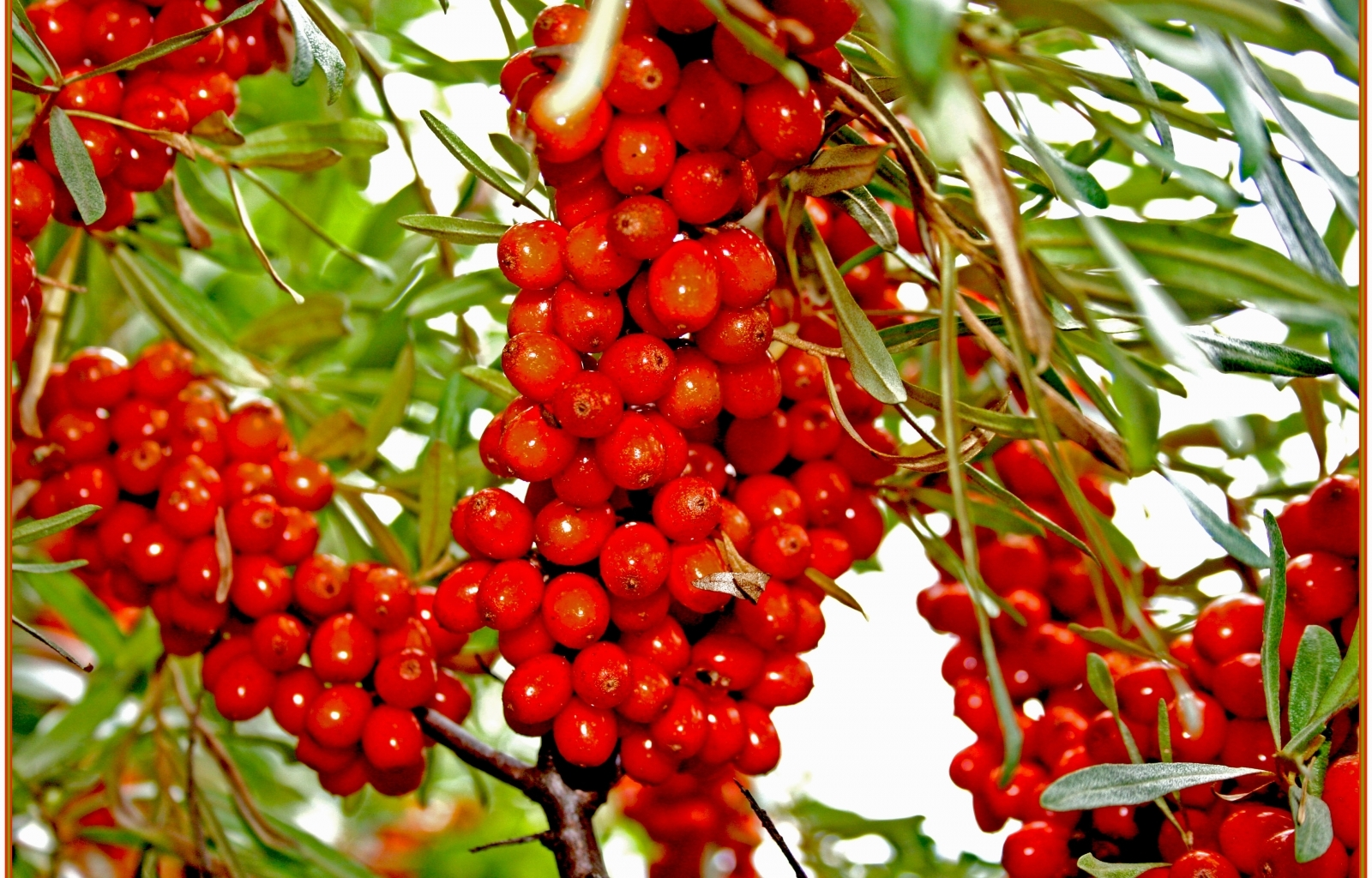 8836 download wallpaper Plants, Fruits, Food, Berries screensavers and pictures for free