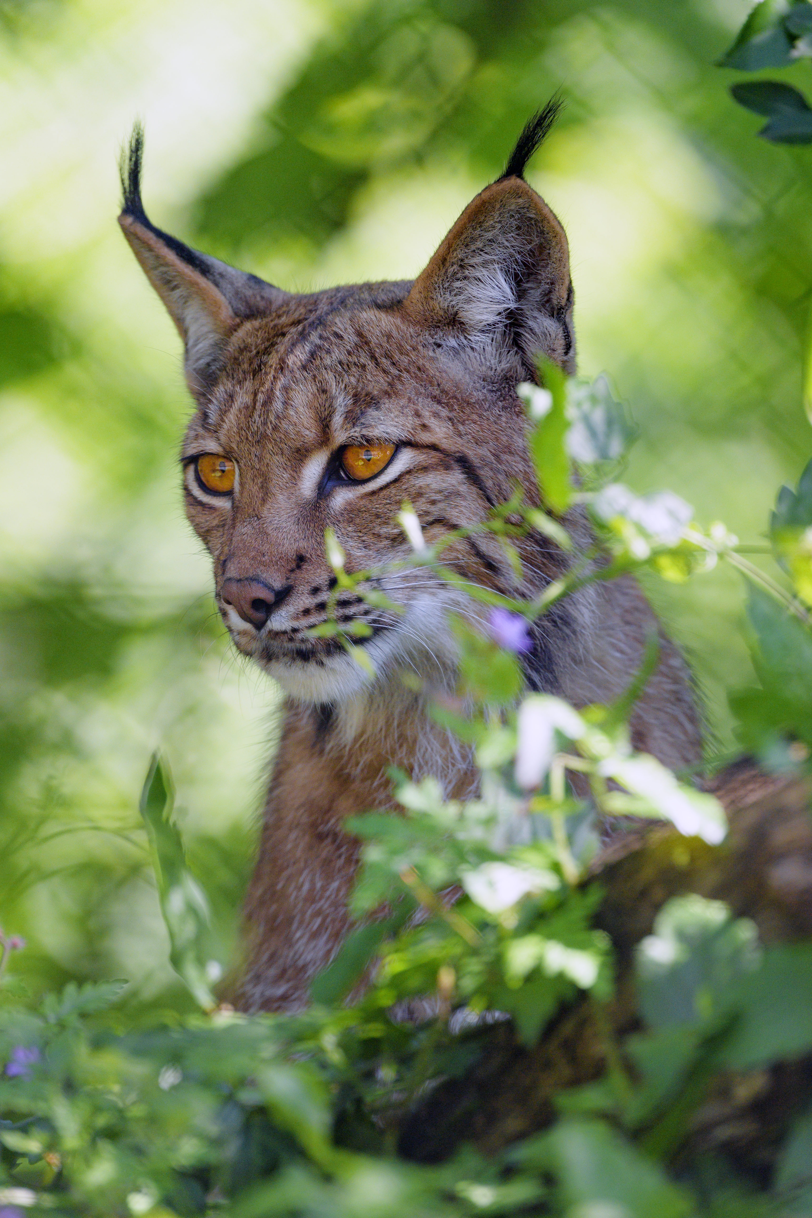 138880 download wallpaper Animals, Iris, Big Cat, Sight, Opinion, Animal screensavers and pictures for free