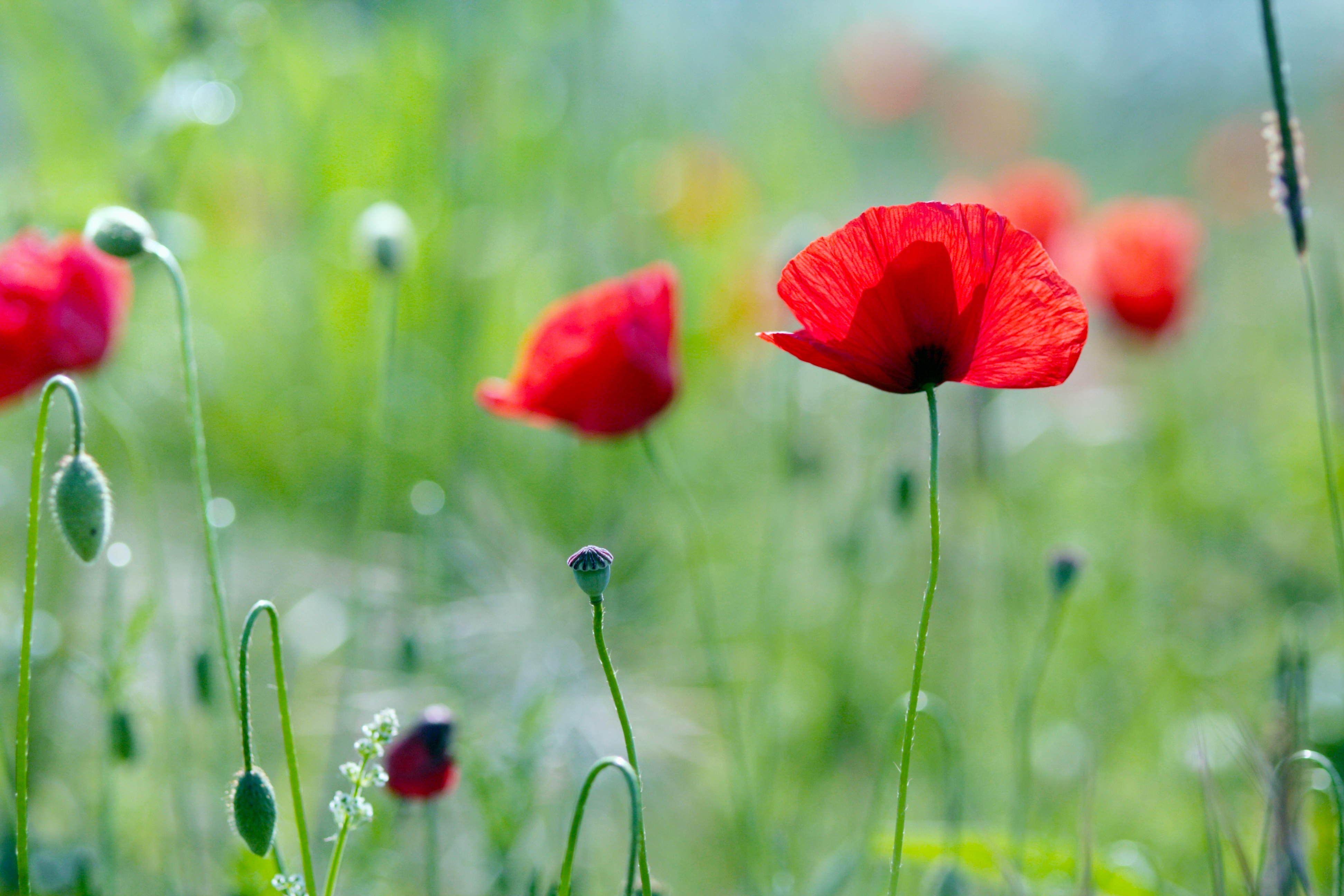119303 Screensavers and Wallpapers Poppies for phone. Download Nature, Flowers, Poppies, Summer, Greens pictures for free