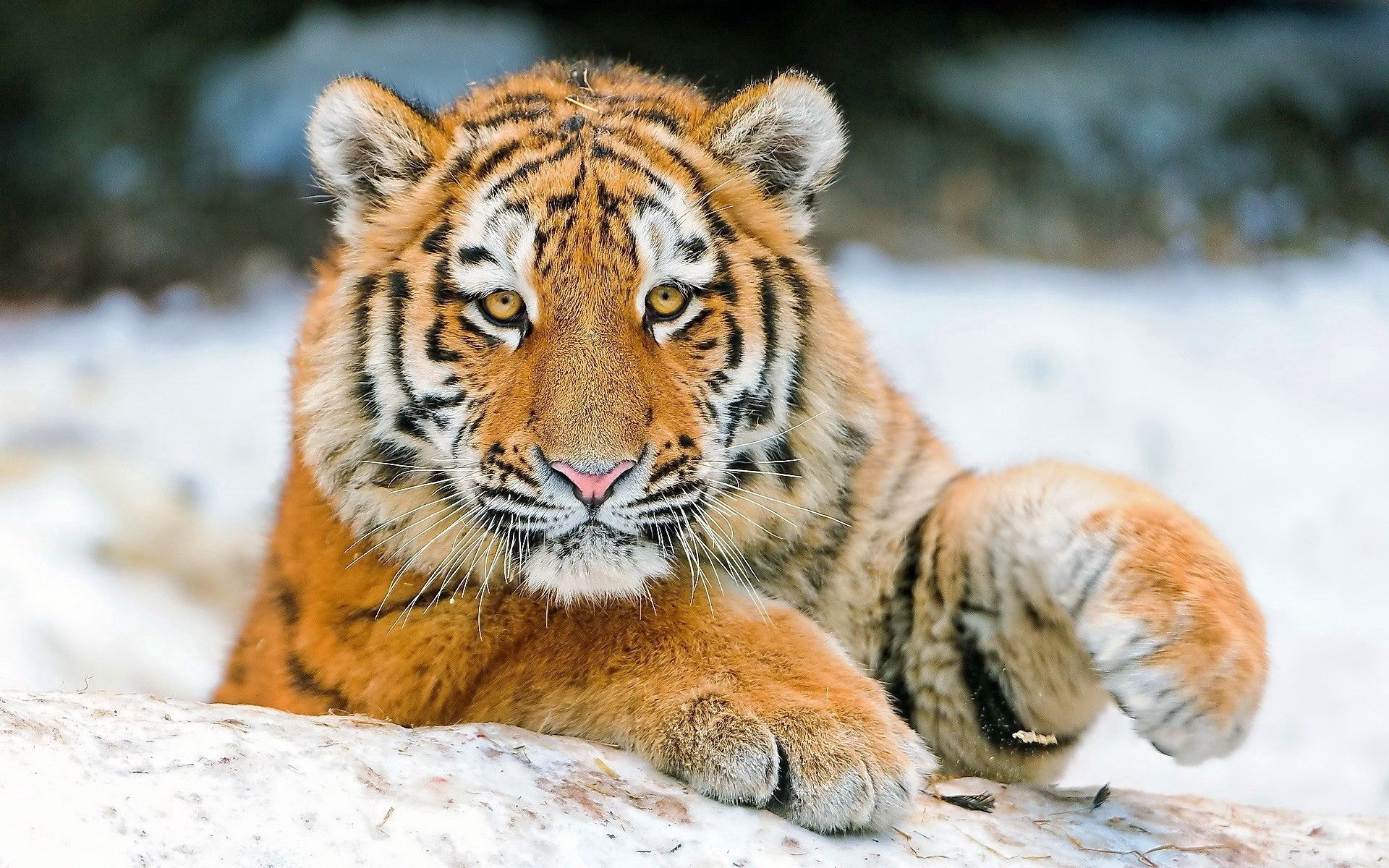 96623 download wallpaper Animals, Tiger, Big Cat, Young, Paw screensavers and pictures for free