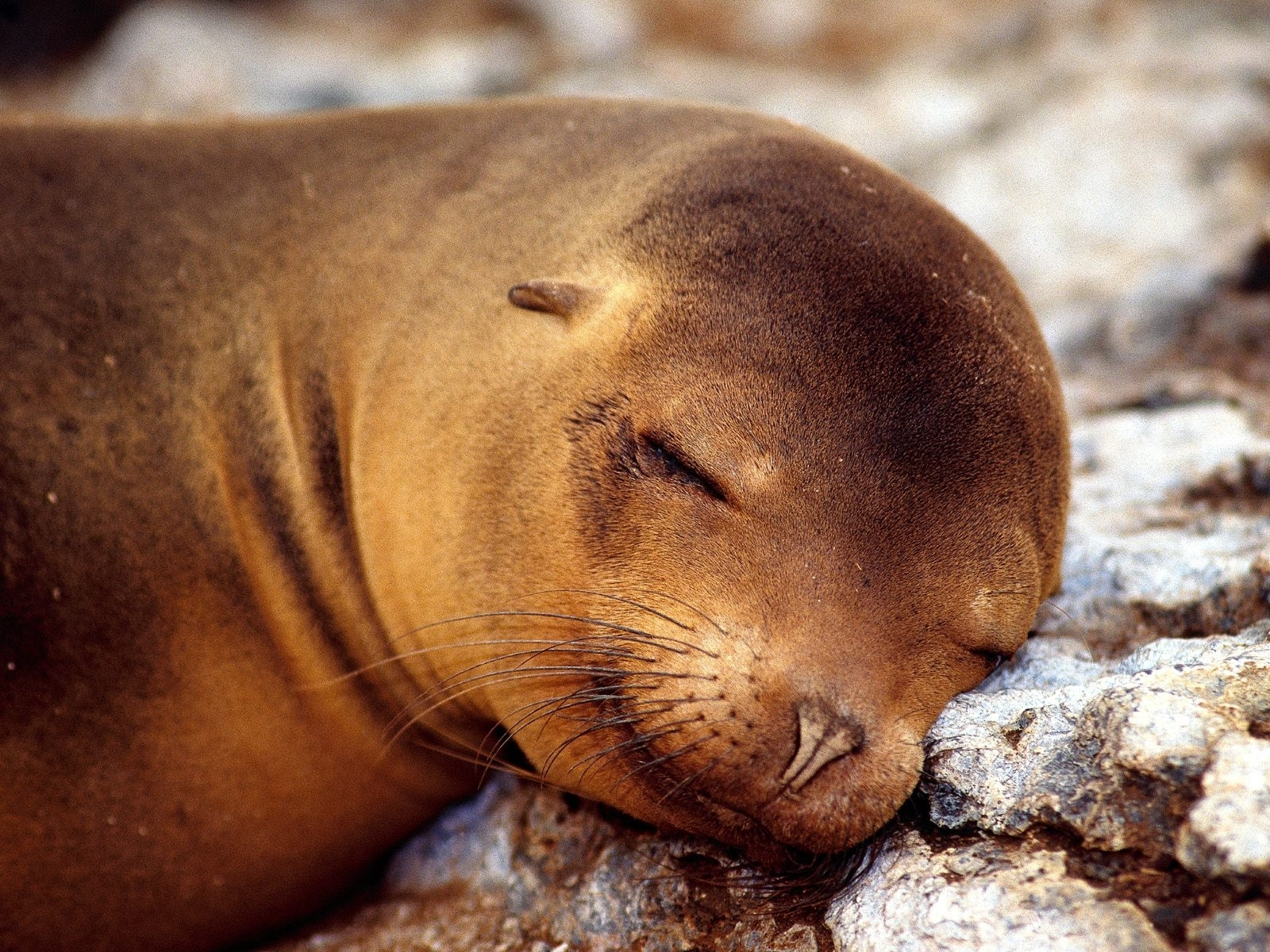 7441 download wallpaper Animals, Sea-Lions screensavers and pictures for free