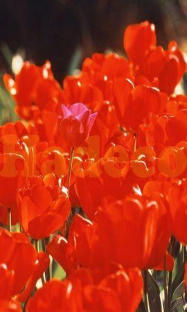 334 скачать обои Растения, Цветы, Тюльпаны - заставки и картинки бесплатно