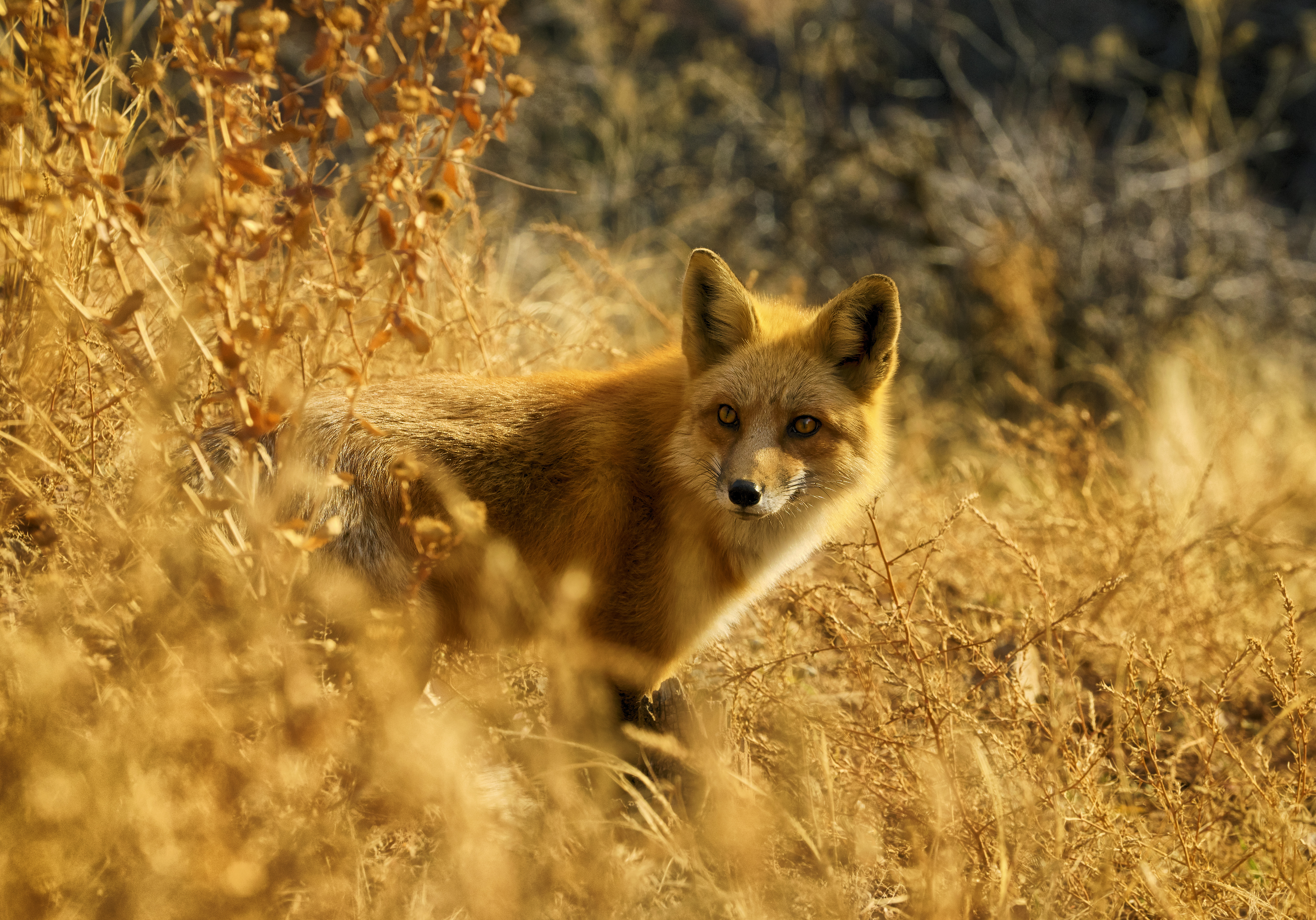 82712 download wallpaper Animals, Fox, Peek Out, Look Out, Wildlife screensavers and pictures for free