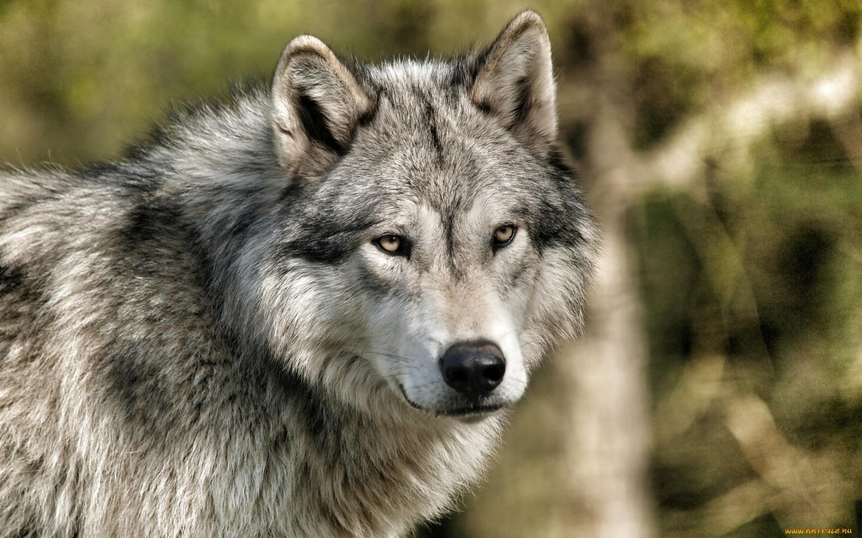 14376 Hintergrundbild herunterladen Wölfe, Tiere - Bildschirmschoner und Bilder kostenlos