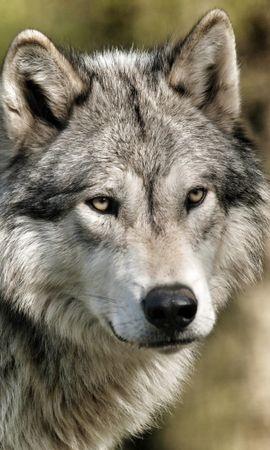 14376 скачать обои Животные, Волки - заставки и картинки бесплатно