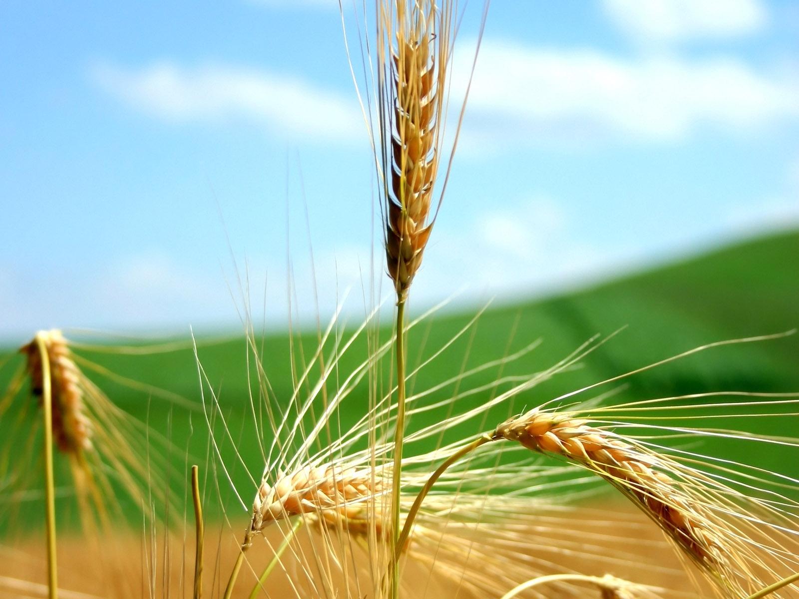 7152 скачать обои Растения, Пшеница - заставки и картинки бесплатно