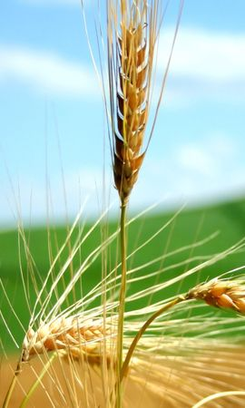 7152 download wallpaper Plants, Wheat screensavers and pictures for free