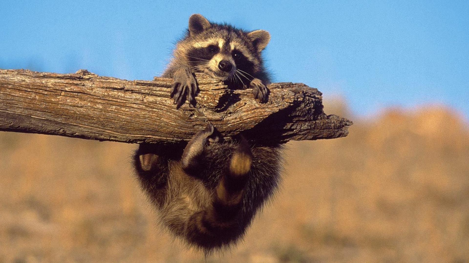32353 Hintergrundbild herunterladen Tiere, Waschbären - Bildschirmschoner und Bilder kostenlos