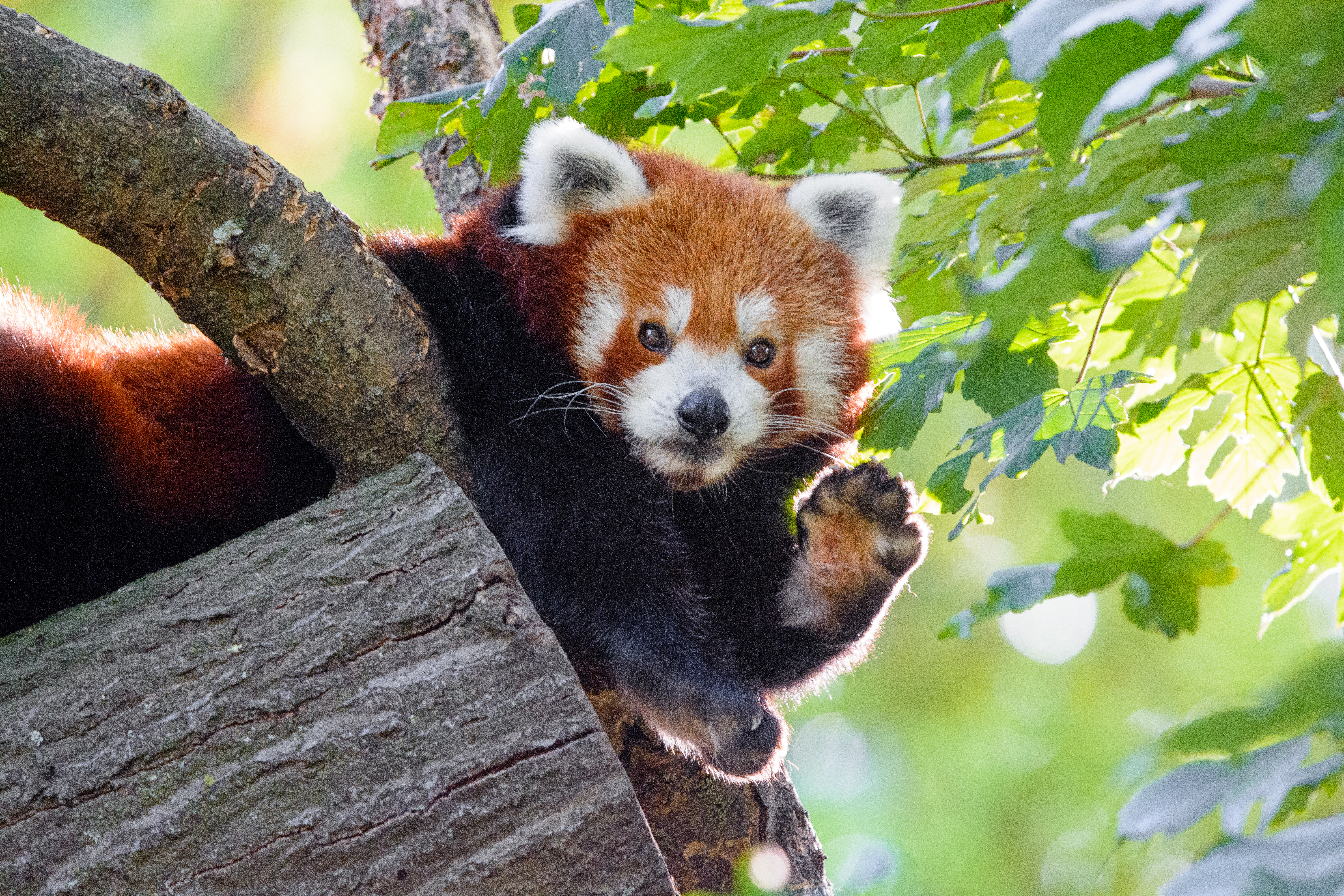 156452 download wallpaper Animals, Red Panda, Animal, Paw, Funny screensavers and pictures for free