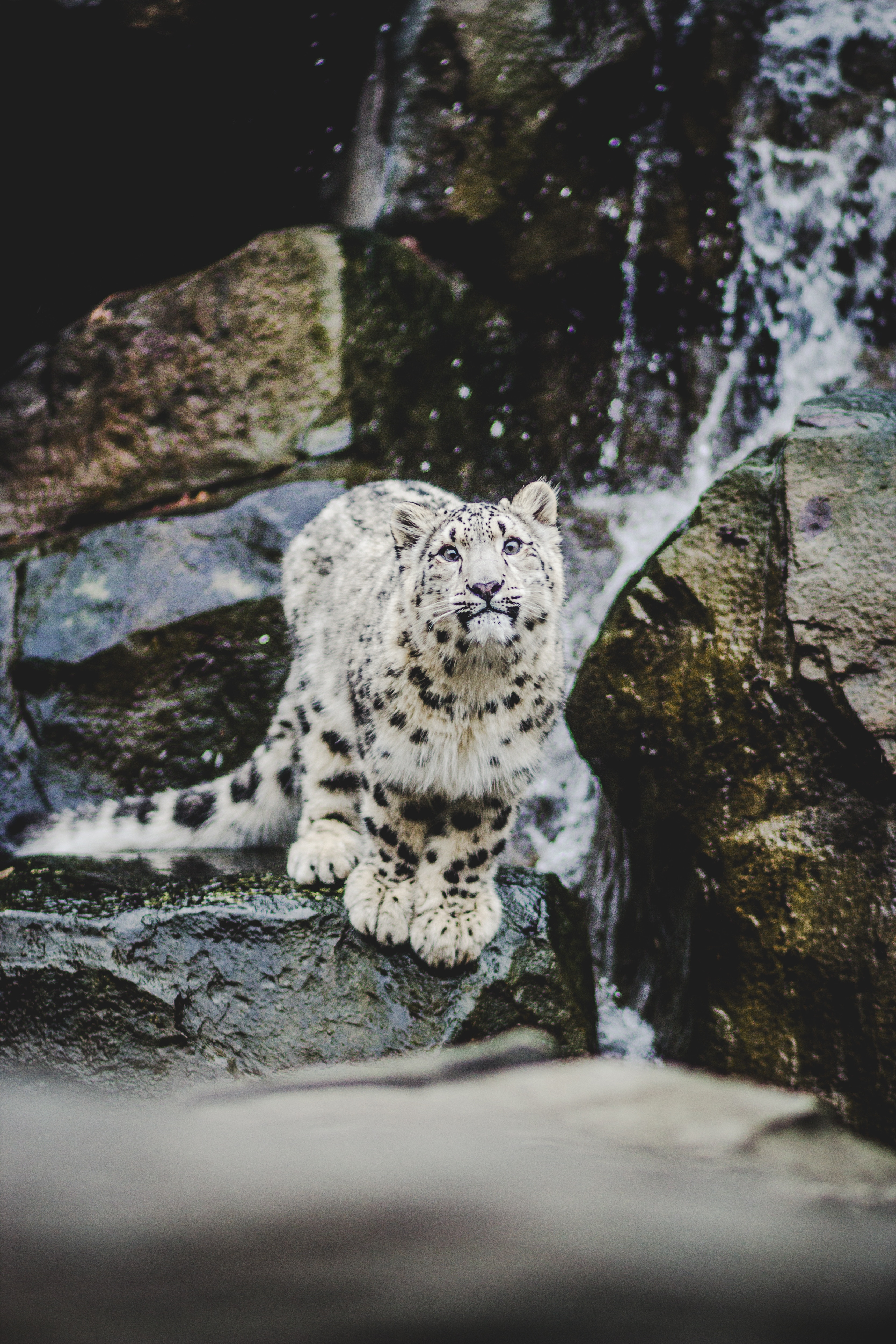 72434 download wallpaper Snow Leopard, Funny, Animals, Big Cat, Emotions screensavers and pictures for free