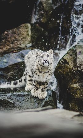 72434 Screensavers and Wallpapers Funny for phone. Download Animals, Emotions, Funny, Big Cat, Snow Leopard pictures for free