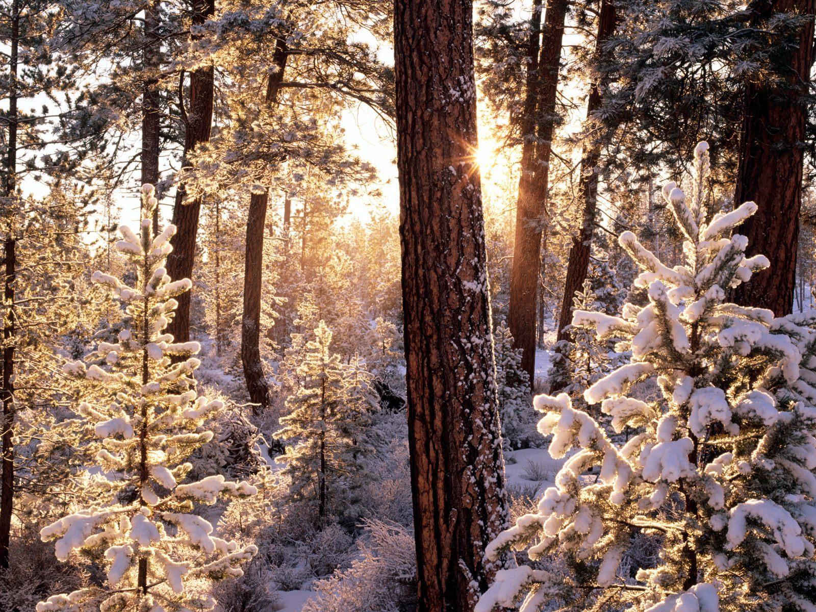 12312 descargar fondo de pantalla Paisaje, Invierno, Árboles, Nieve, Abetos: protectores de pantalla e imágenes gratis